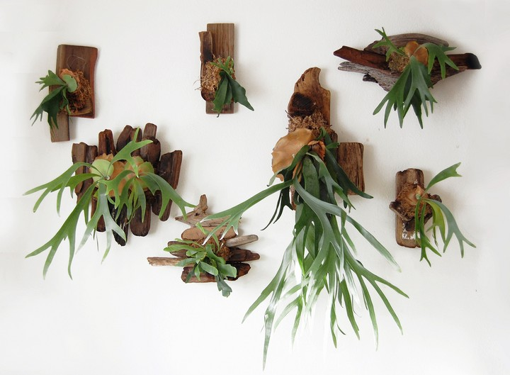Mounted staghorn ferns.