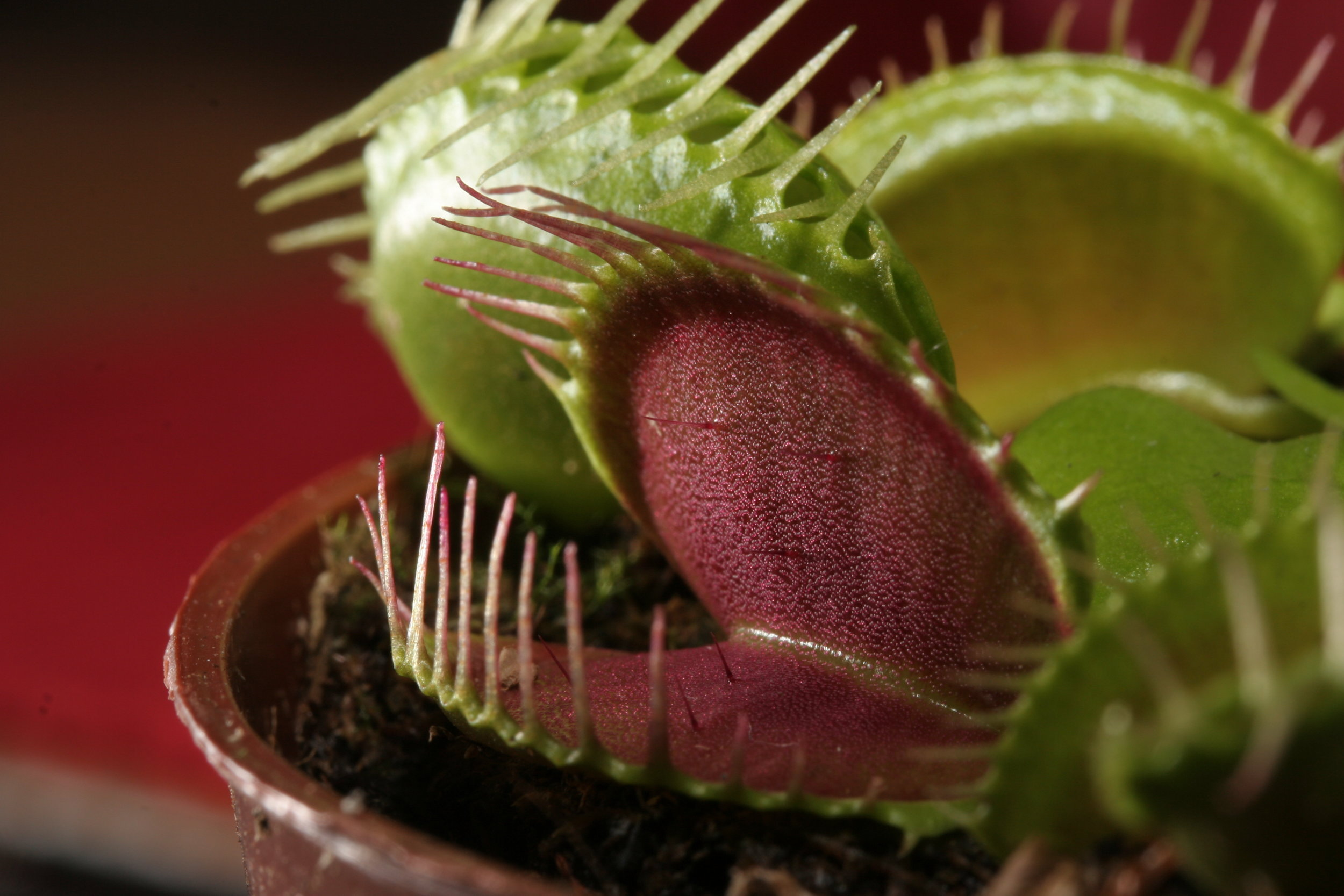 Caring For A Venus Fly Trap The Zen Succulent Durham S