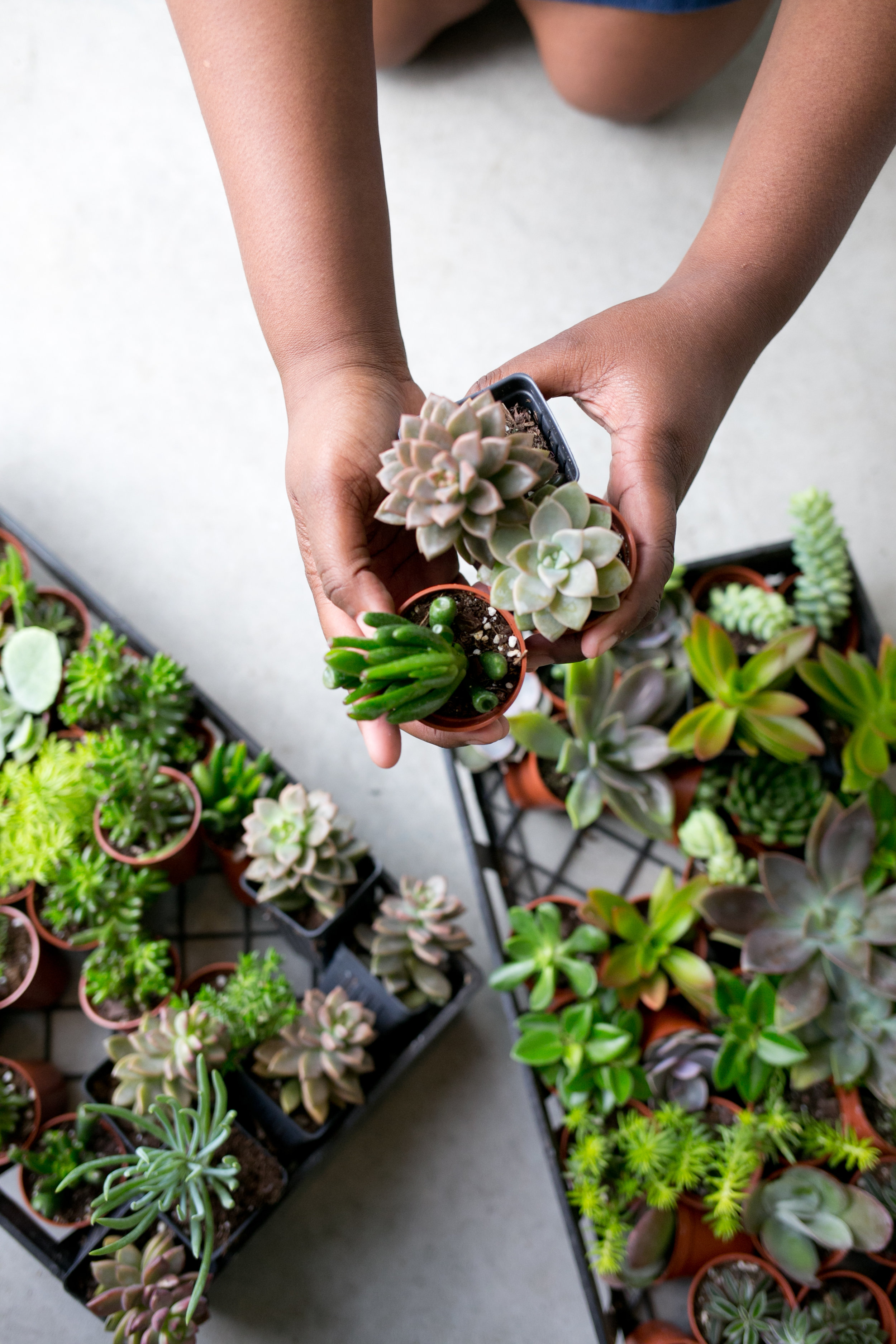 Succulent Terrarium Plants 3 Individual Succulent Plants The