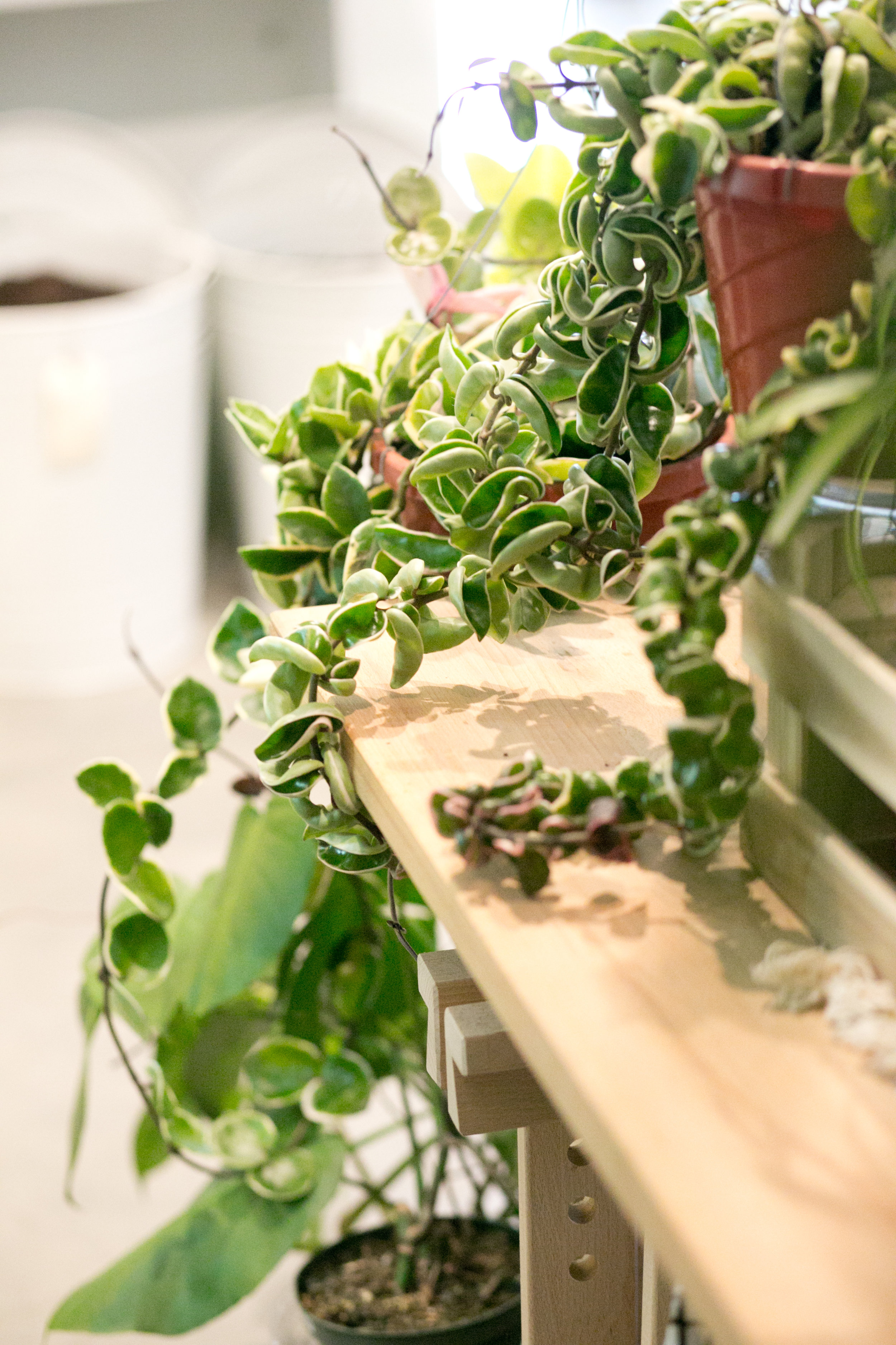 Think beyond a shelf and consider hanging a plant, like this  Hoya compacta 'Krinkle Kurl' , commonly known as Hindu rope.