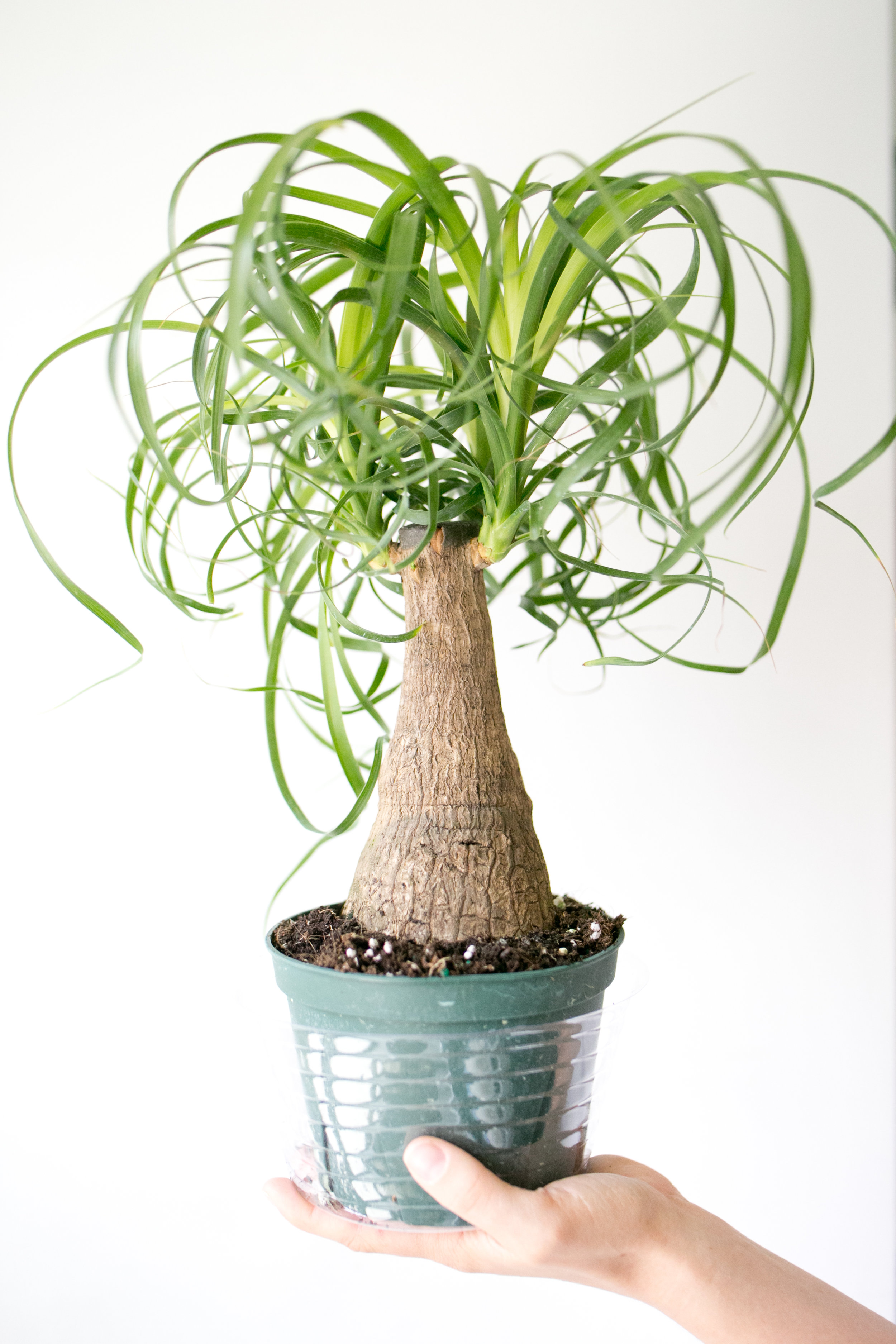 Ponytail palms ( Beaucarnea recurvata ) are sun lovers. Native to arid regions of Mexico, they require little water.