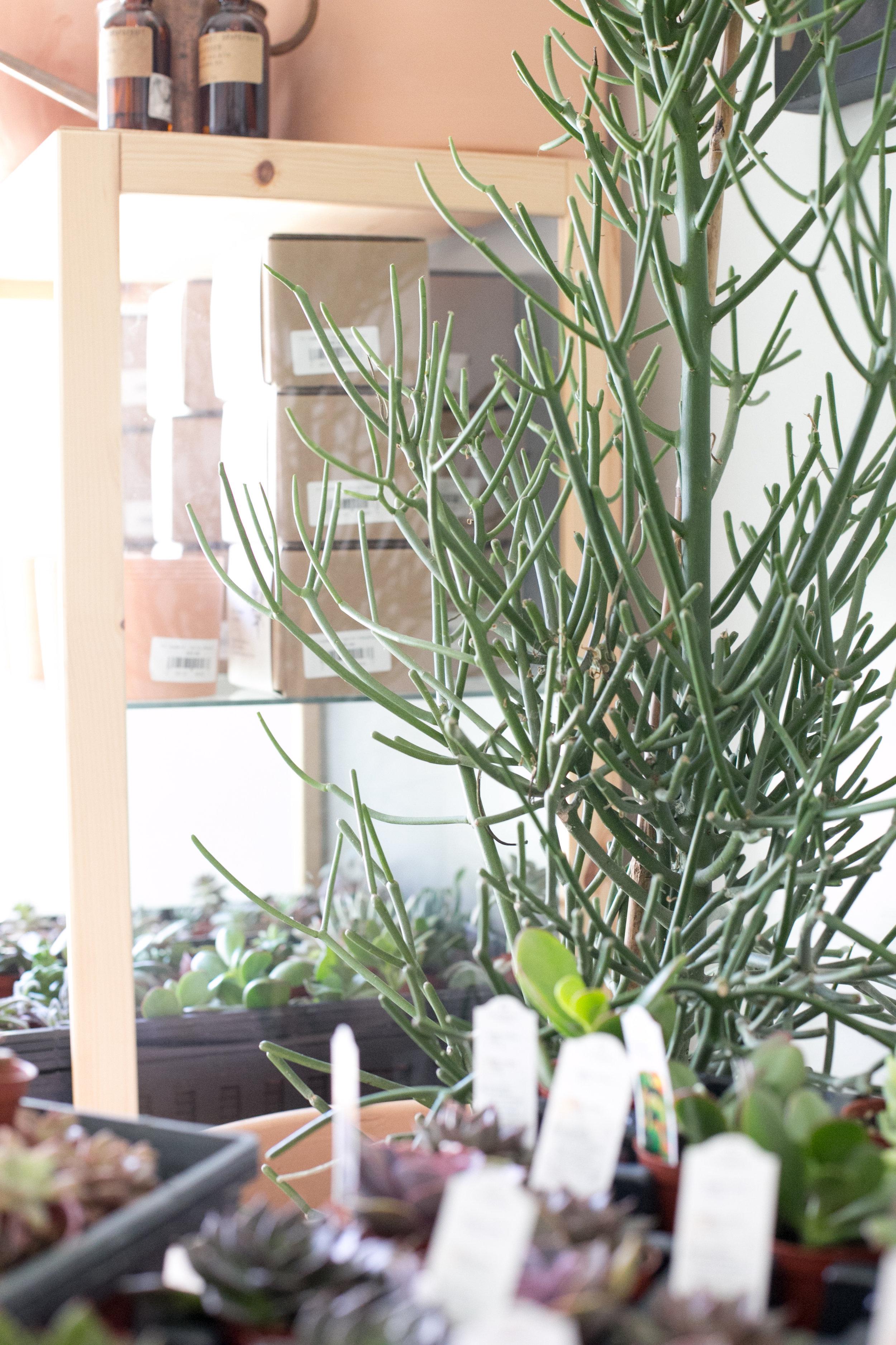 Succulents like this Pencil Cactus ( Euphorbia tirucalli ) do well in full sun.