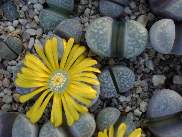 Many lithops bloom during their lifecycle, like this  Lithops helmutii, showing off a beautiful yellow flower. (Image source: lithops.net )