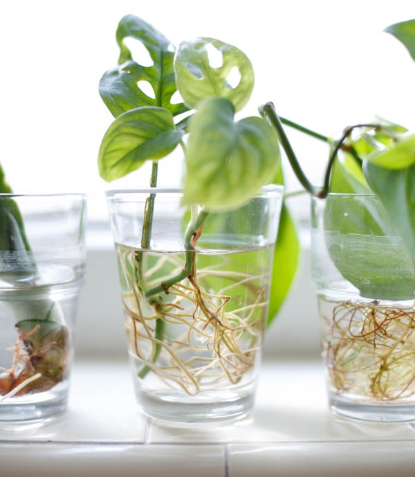 Swiss cheese plant   ( Monstera adansonii )stem cutting rooting in water. Image source:  Folia Collective .