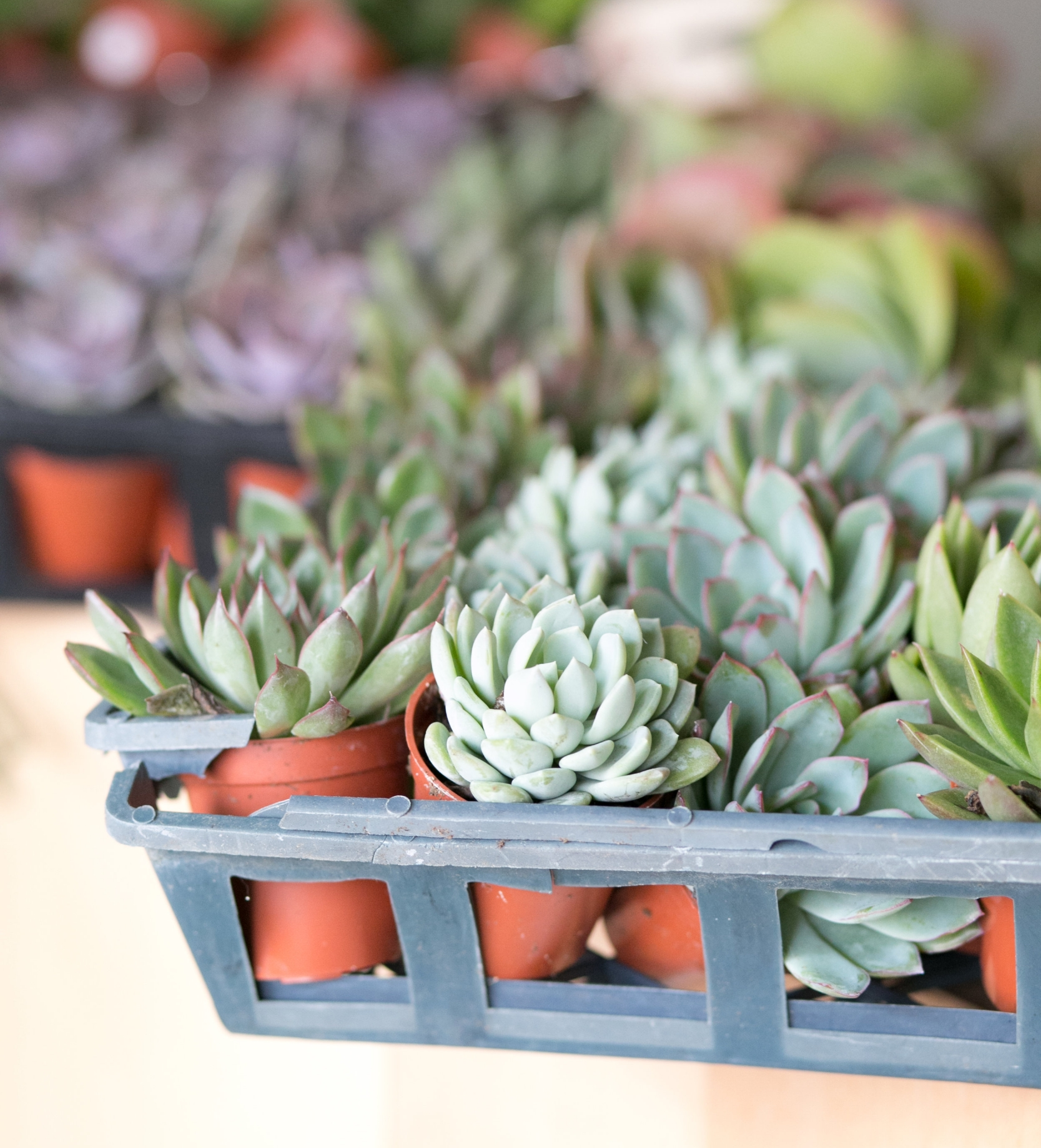 Applying liquid fertilizer to succulent leaves can cause rot and other problems.  Be sure to apply fertilizer only to their soil, as indicated by the instructions on the bottle.