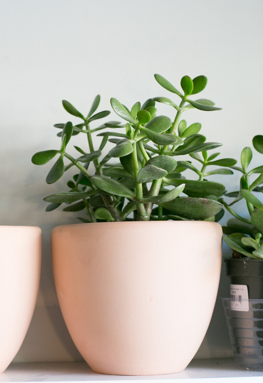 Jade plants will let you know when they need water. The leaves will become slightly withered and crumpled in appearance.