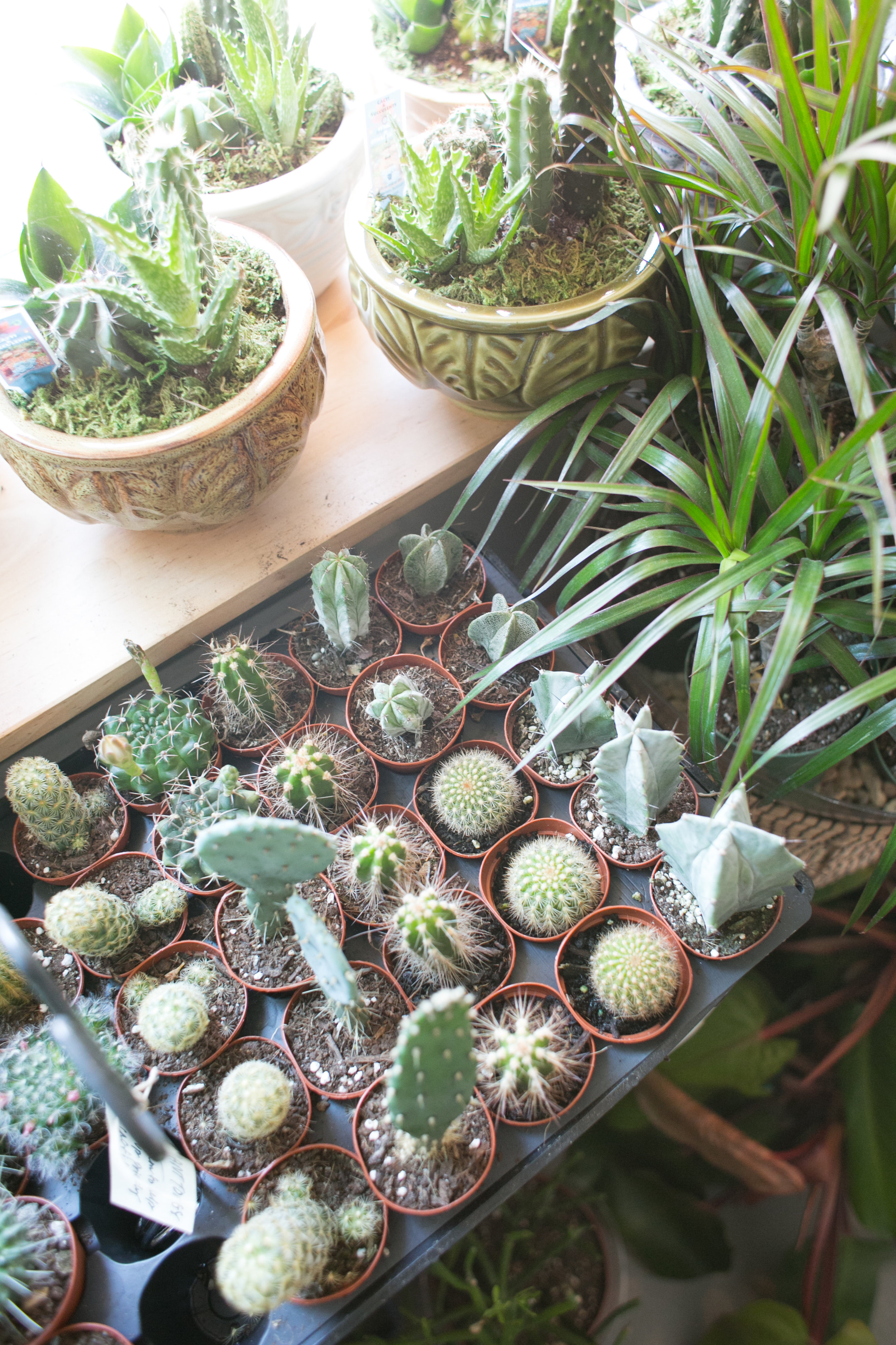 When it comes to cacti, the drier the soil, the happier the plant.