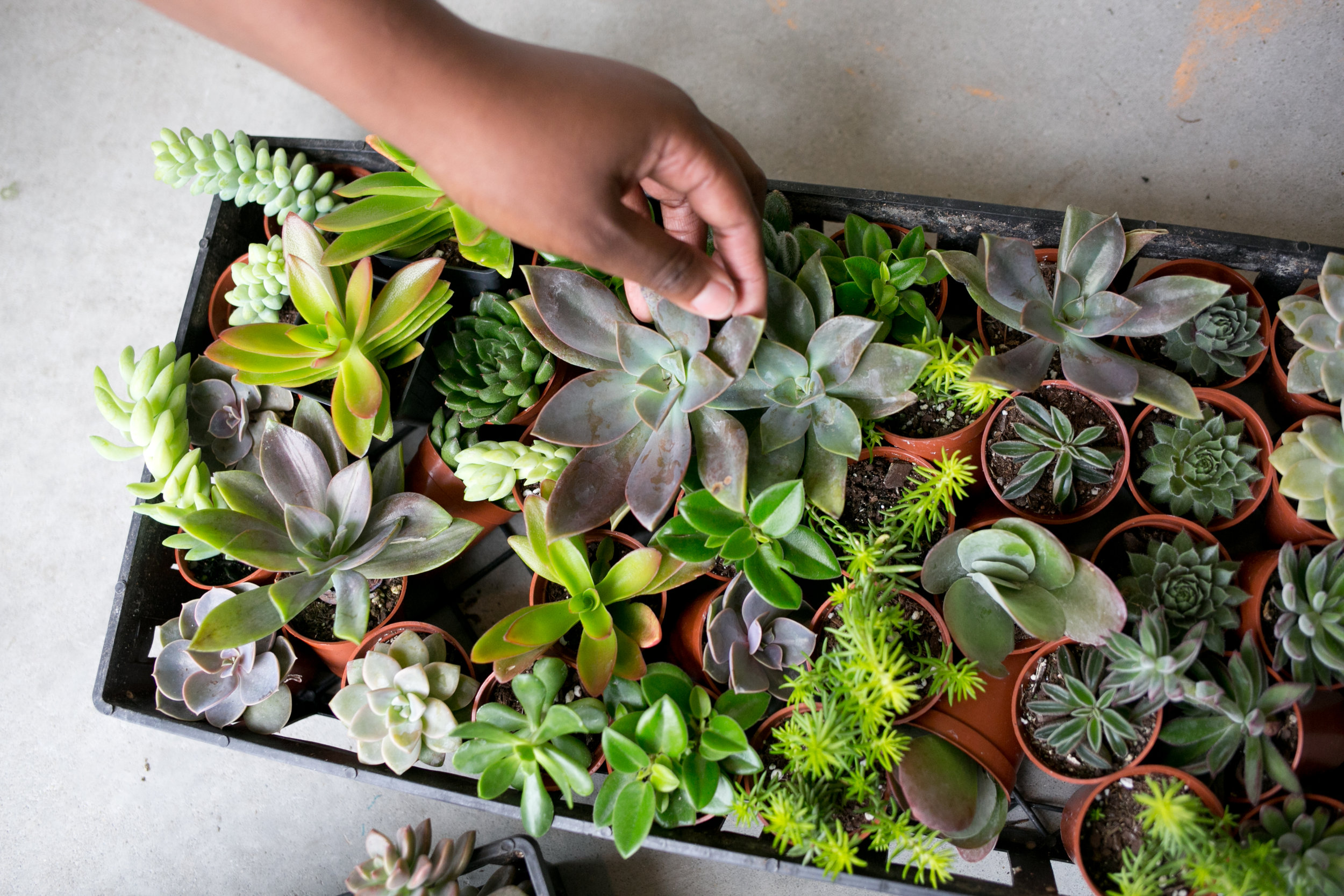 "All of these plants are commonly referred to as ""succulents"". If we were to use scientific naming, we would have at least five different species names  (e. g. Crassula ovata)."