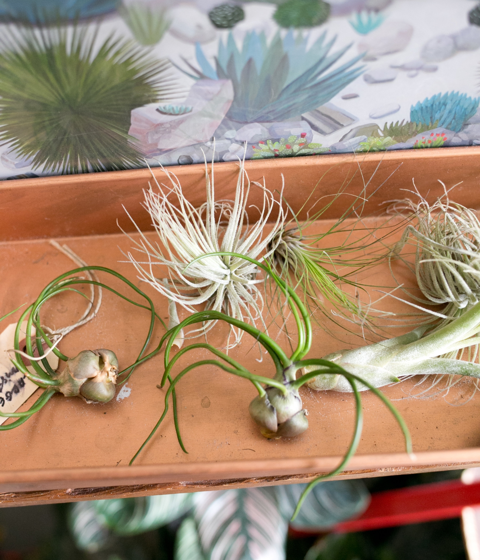 Commonly called airplants, the scientific name for many airplants begins with   Tillandsia , the name of their taxonomic genus.