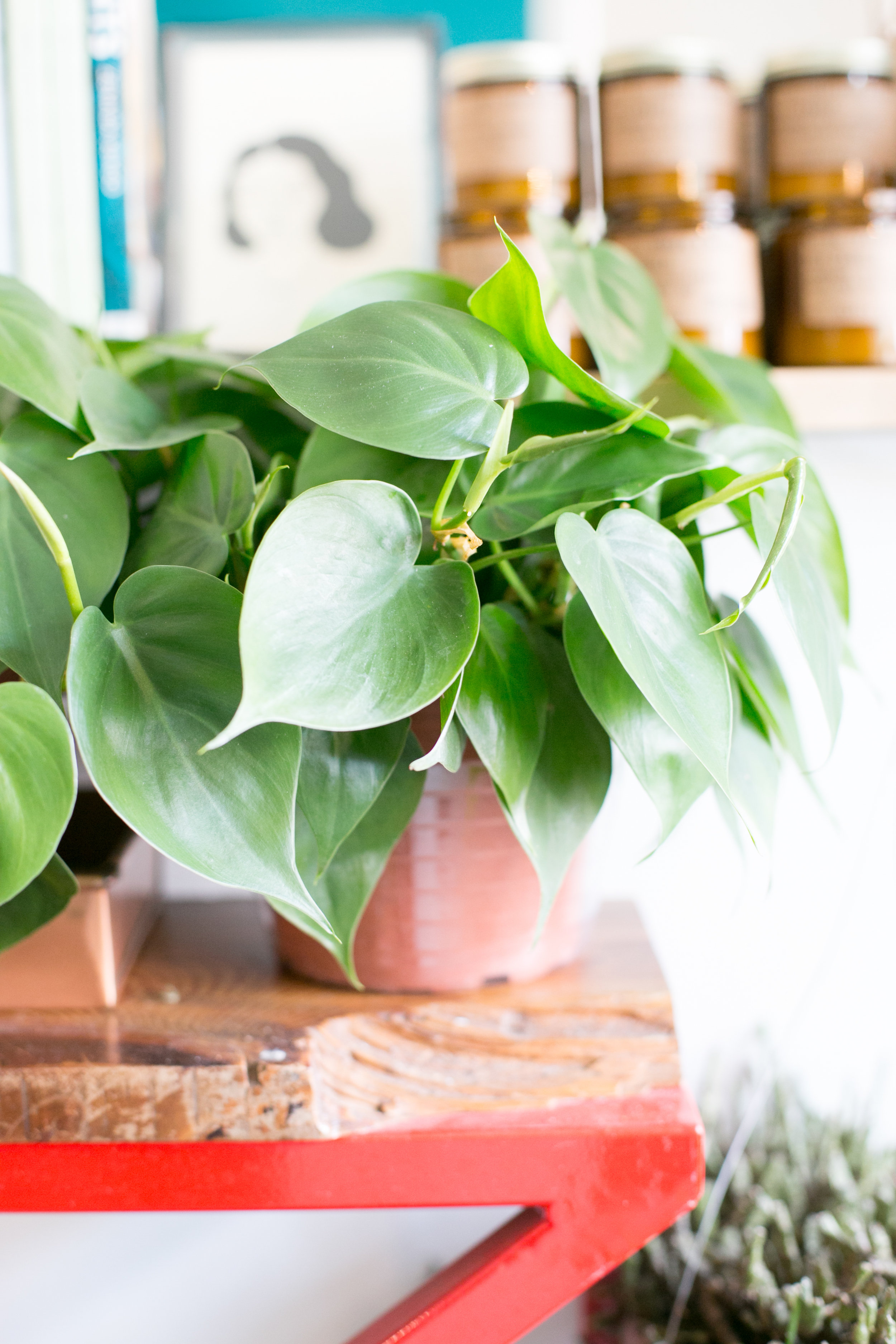 Heartleaf philodendron  (Philodendron cordatum)  look great on a shelf or in a plant hanger, where they have room to vine.