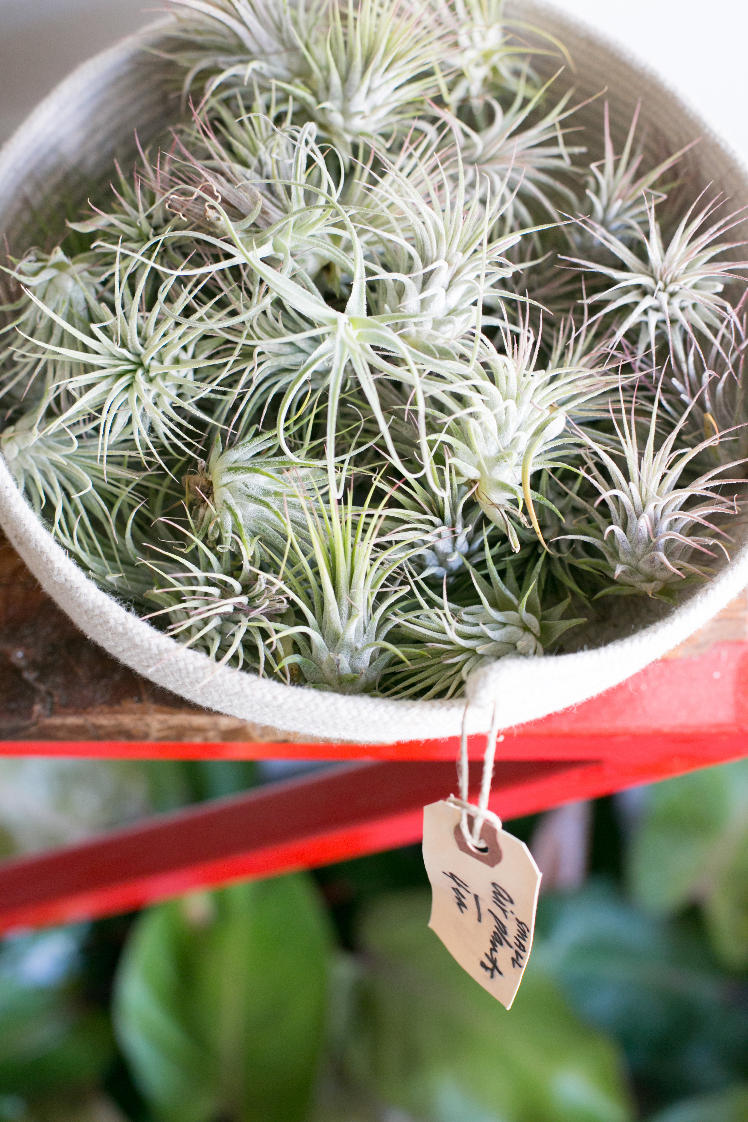 You can treat your air plants like tropicals; they enjoy high humidity and indirect light and are ideal for a bathroom or shaded porch in summer.