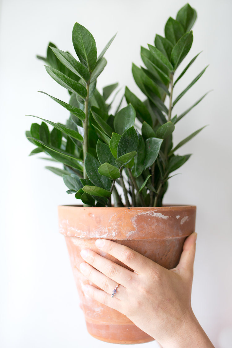 A ZZ plant ( Zamioculcas zamifolia ) canadd a pop of color and texture to any space.