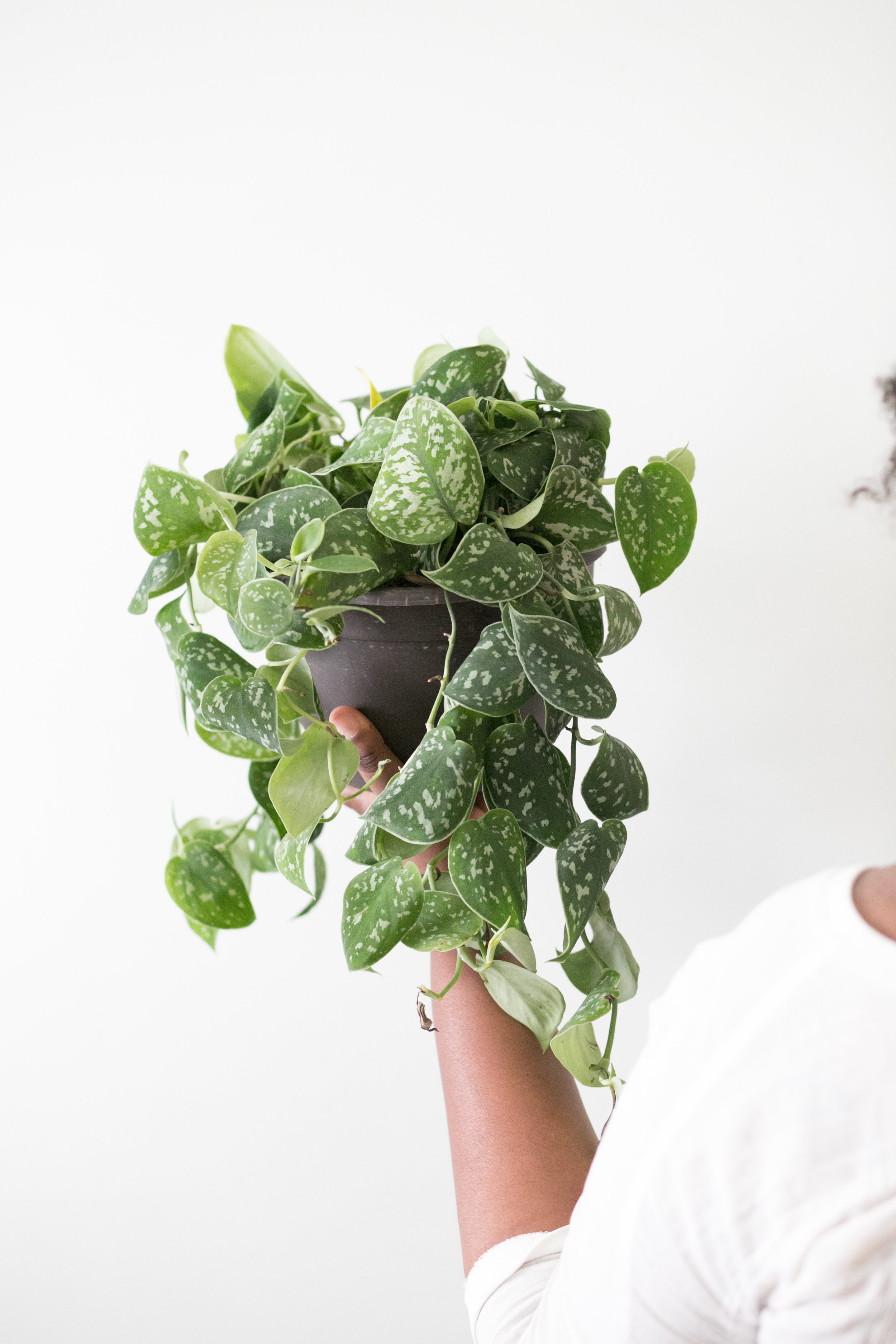 A humidity tray is the recommended tool for getting the right humidity for this plant; misting can cause insect and bacterial problems due to the velvety texture of the leaves.