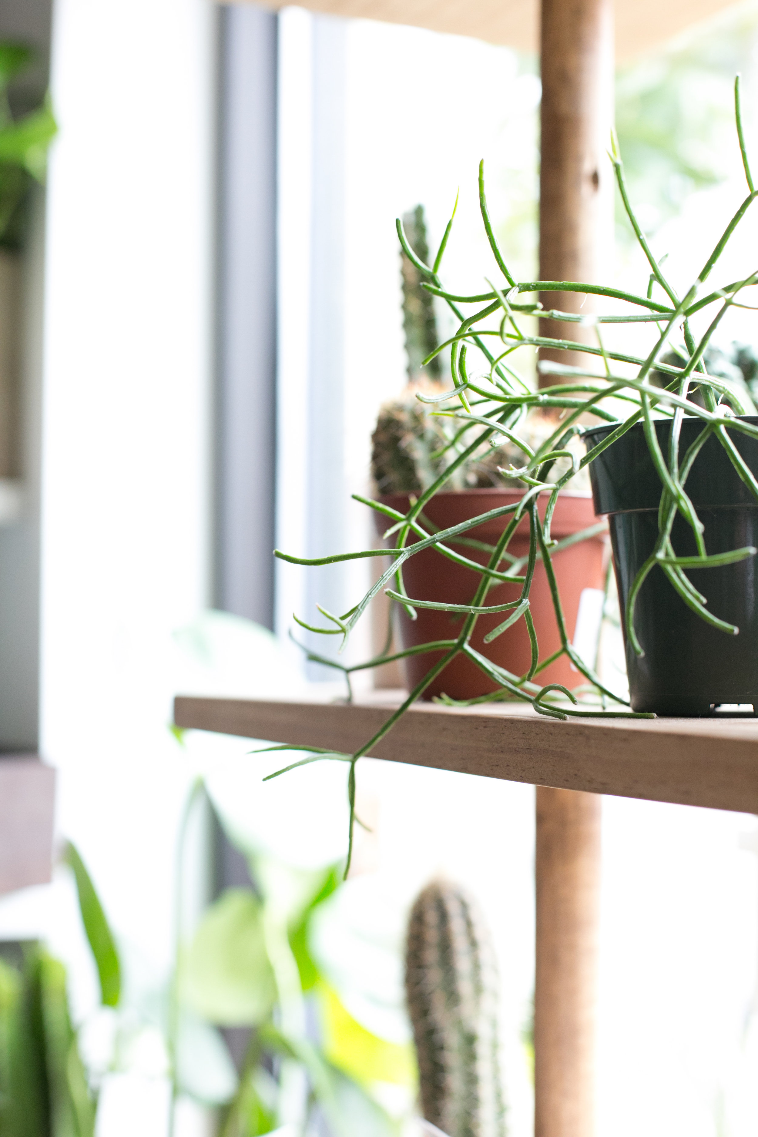 Hanging jungle cacti spaces make a great conversation piece for a well-lit room, or in a window above your kitchen sink.