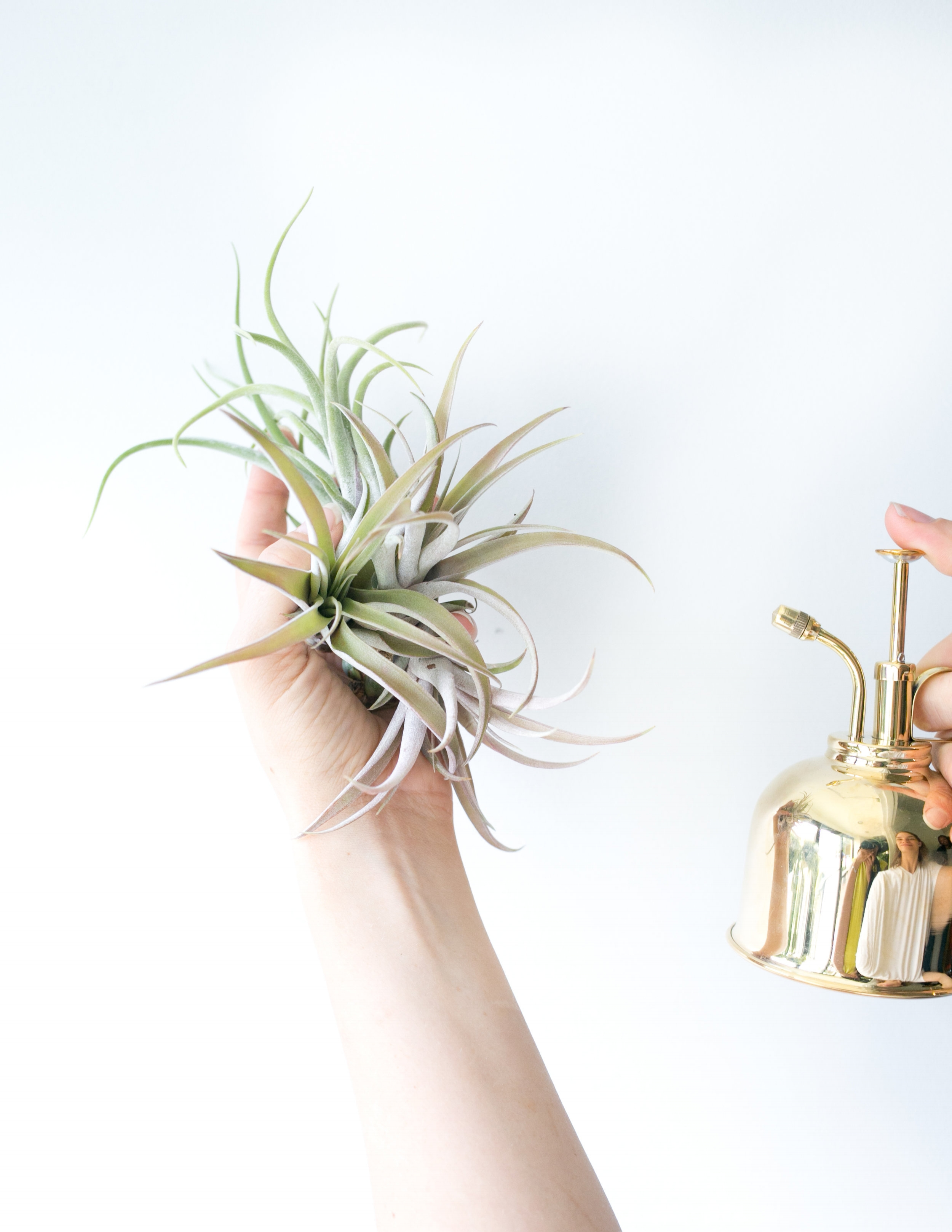 Using a mister is our favorite way to water air plants.