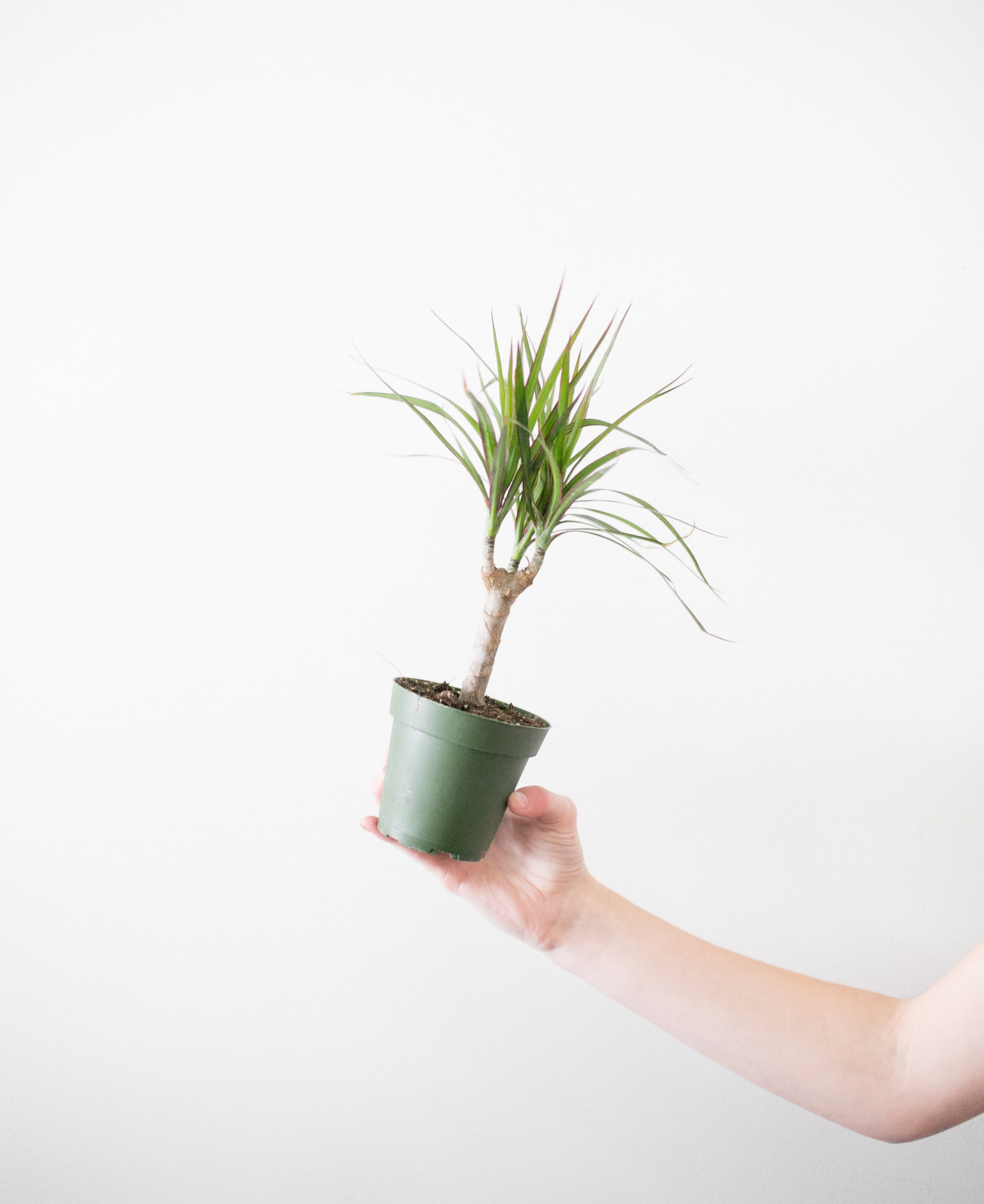 Did you know that the Madagascar Dragon Tree can grow in shade or sun?