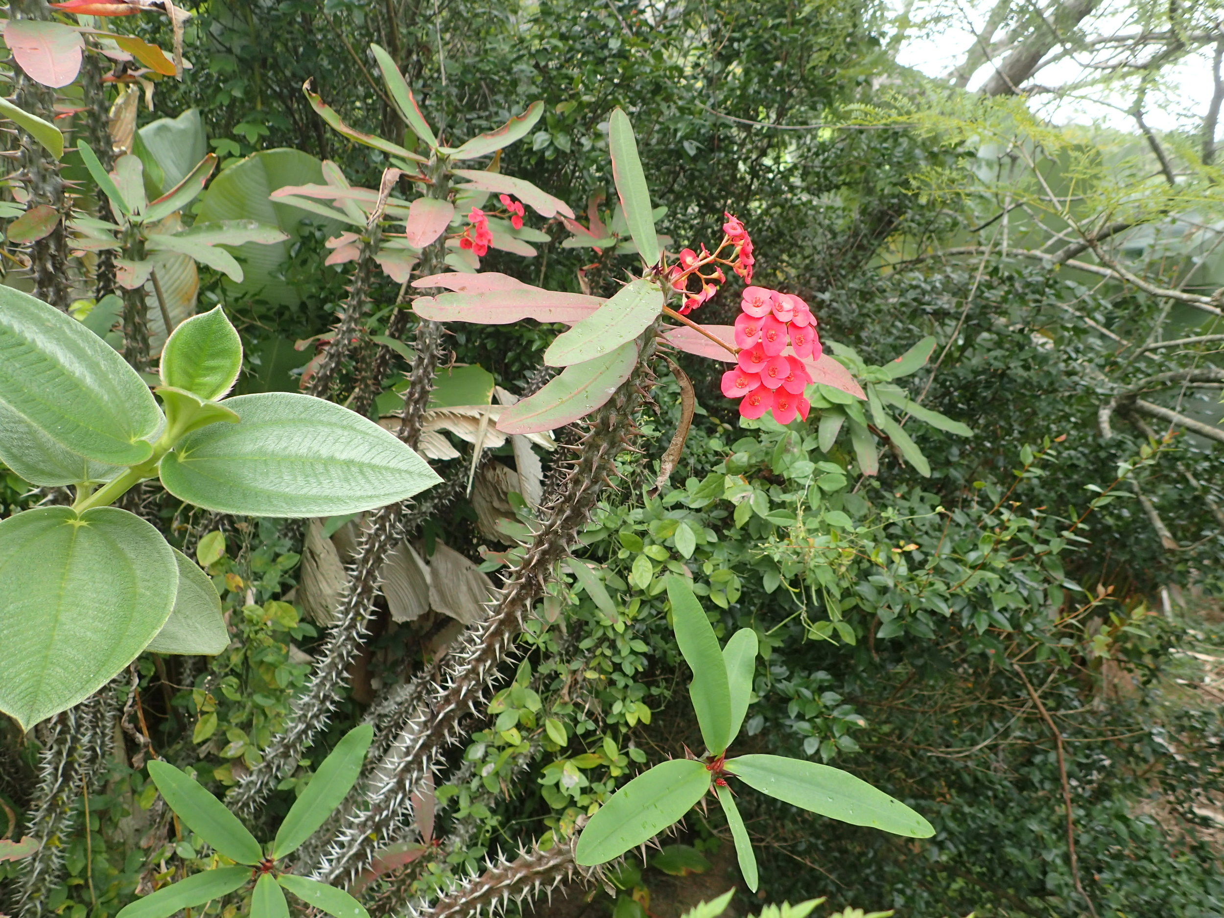Known commonly as the Crown of Thorns, the species pictured here is the  Euphorbia gottlebei.  It looks very similar to the  E. milli , except that in can grow up to 5 feet in height. Picture taken by the author,Marozevo, Madagascar.