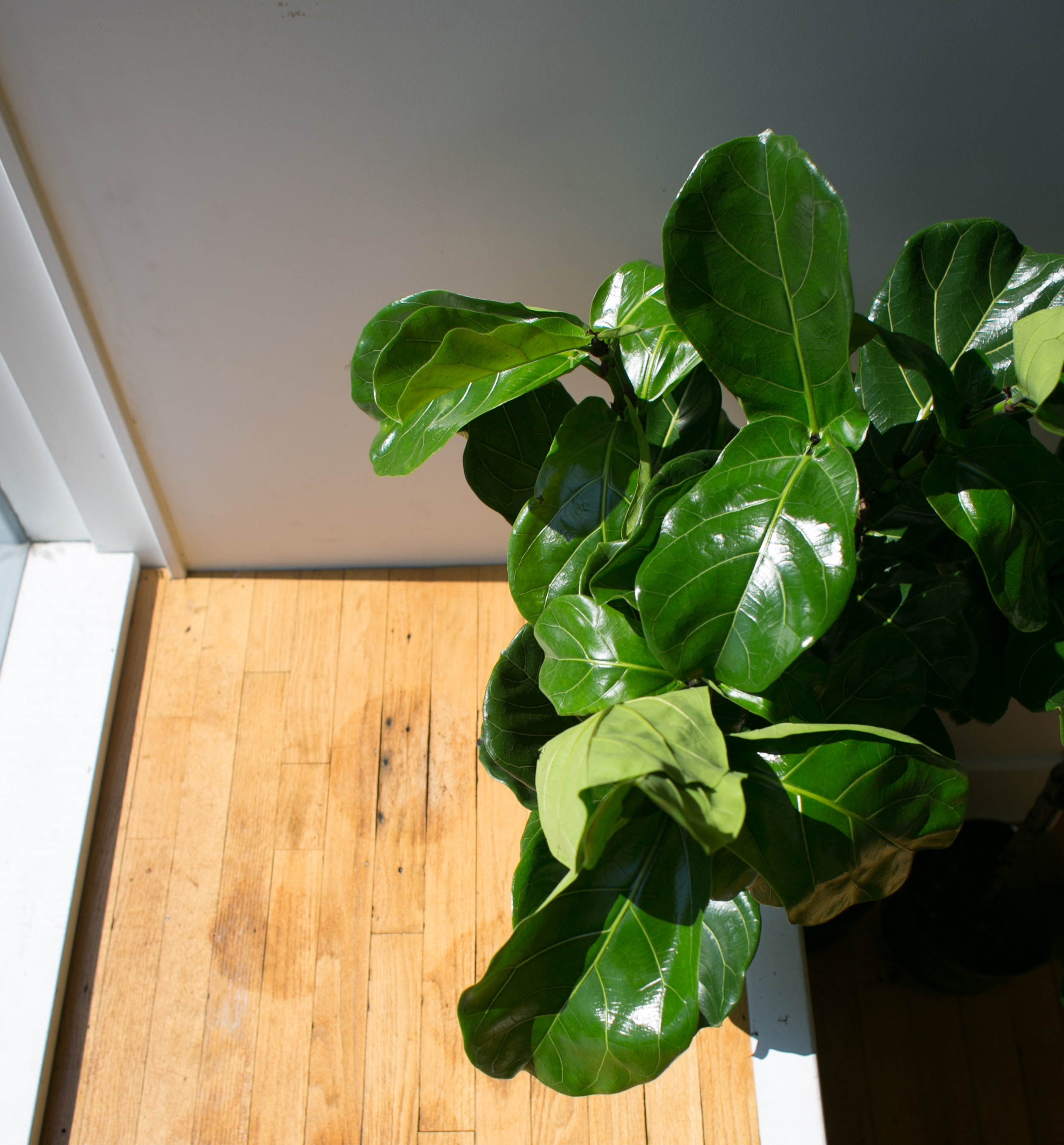 Plants appear green because chlorophyll absorbs all colors in the light spectrum, except green.