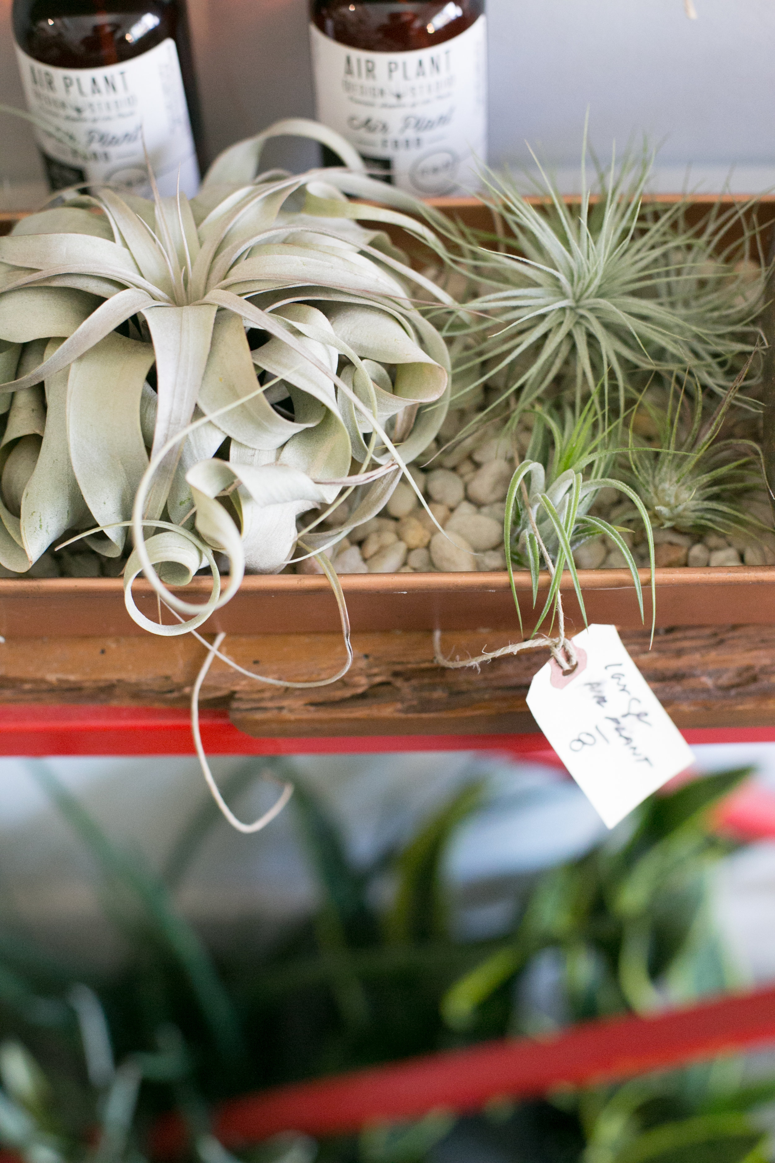 We carry several species of air plants, in various shapes and sizes.