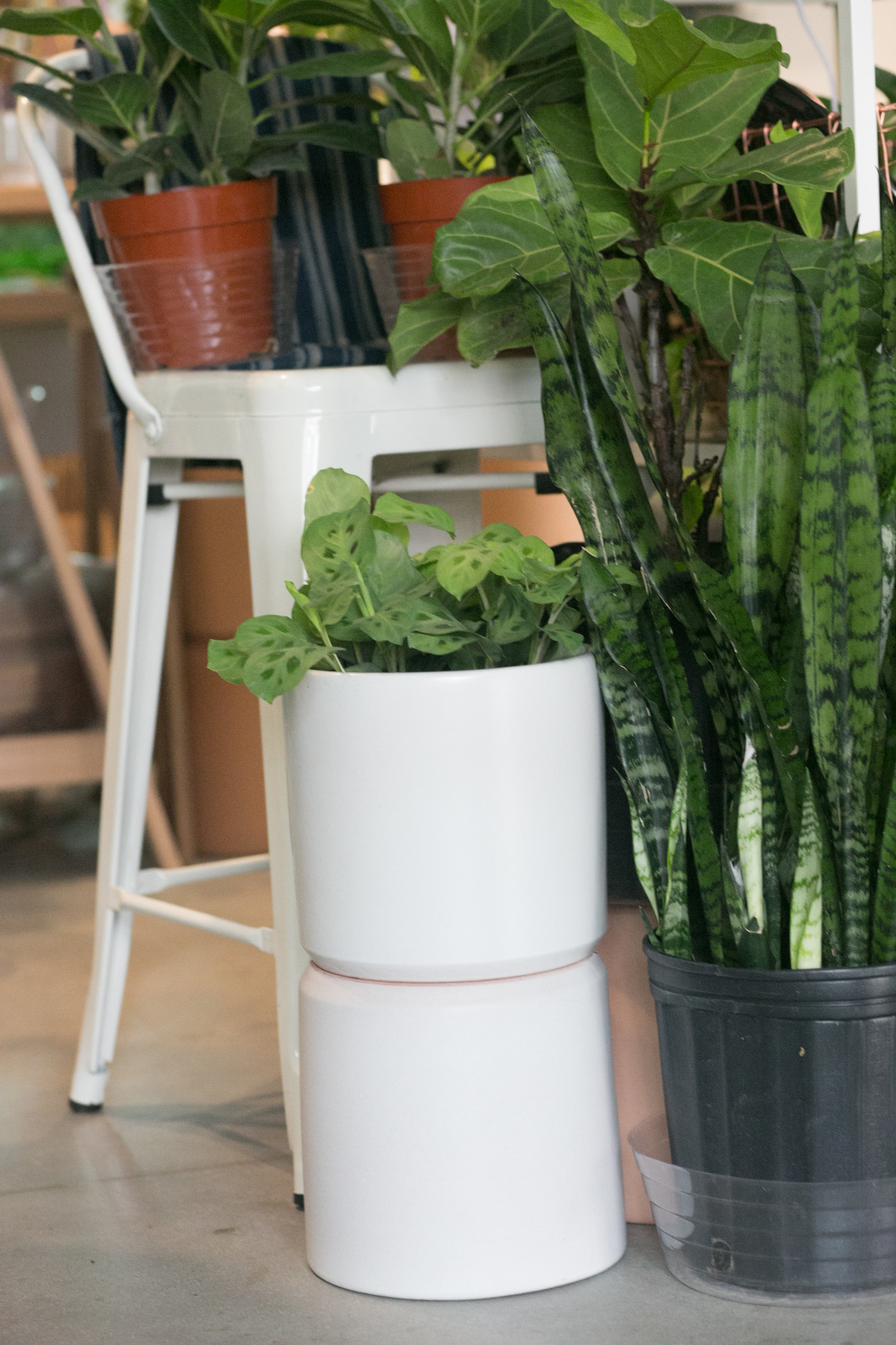 We love a prayer plant in a white pot - the contrast really makes the leaves pop.