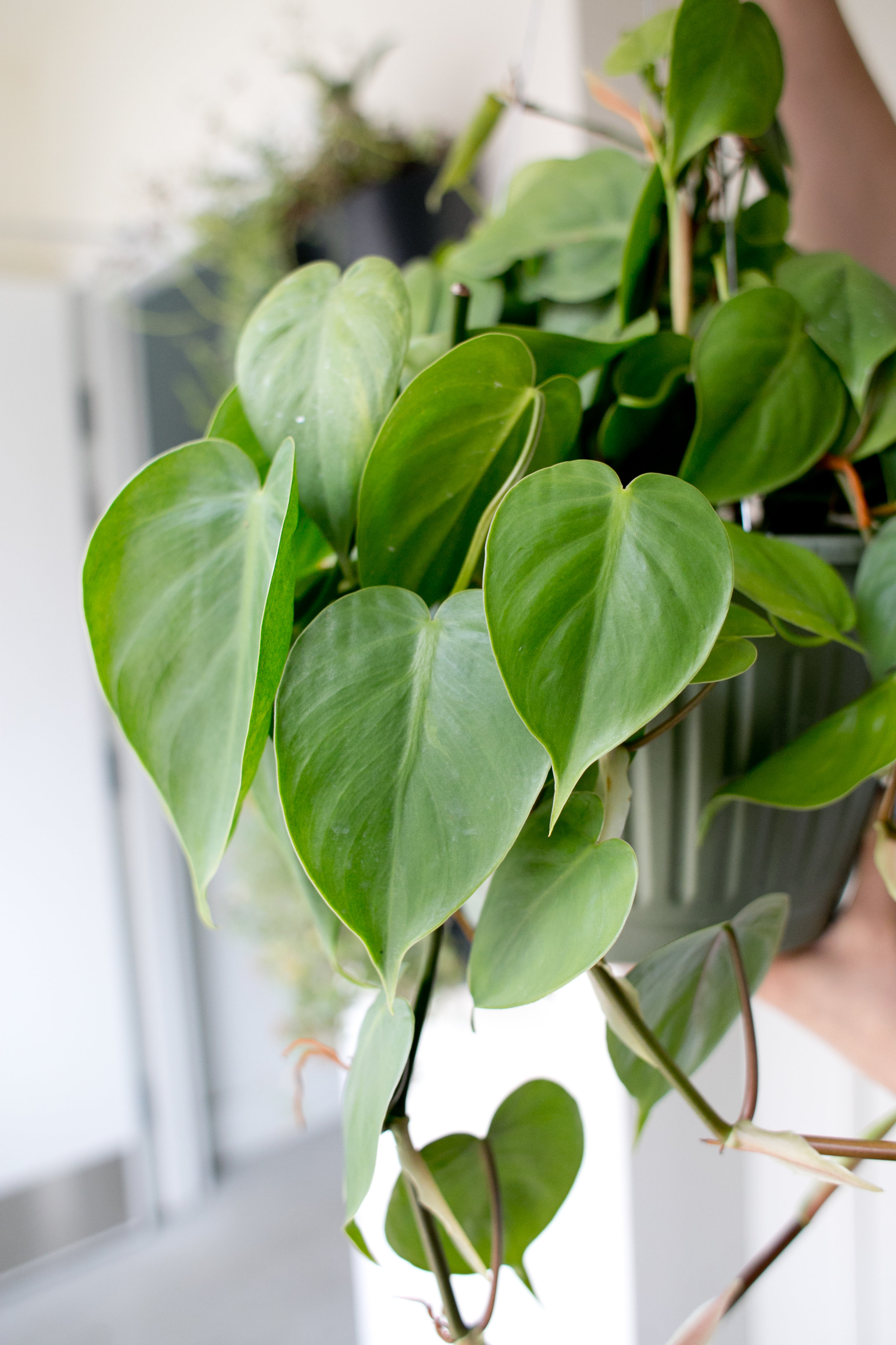As a houseplant, Heartleaf Philodendrons can be grown up on a stake or trailing.