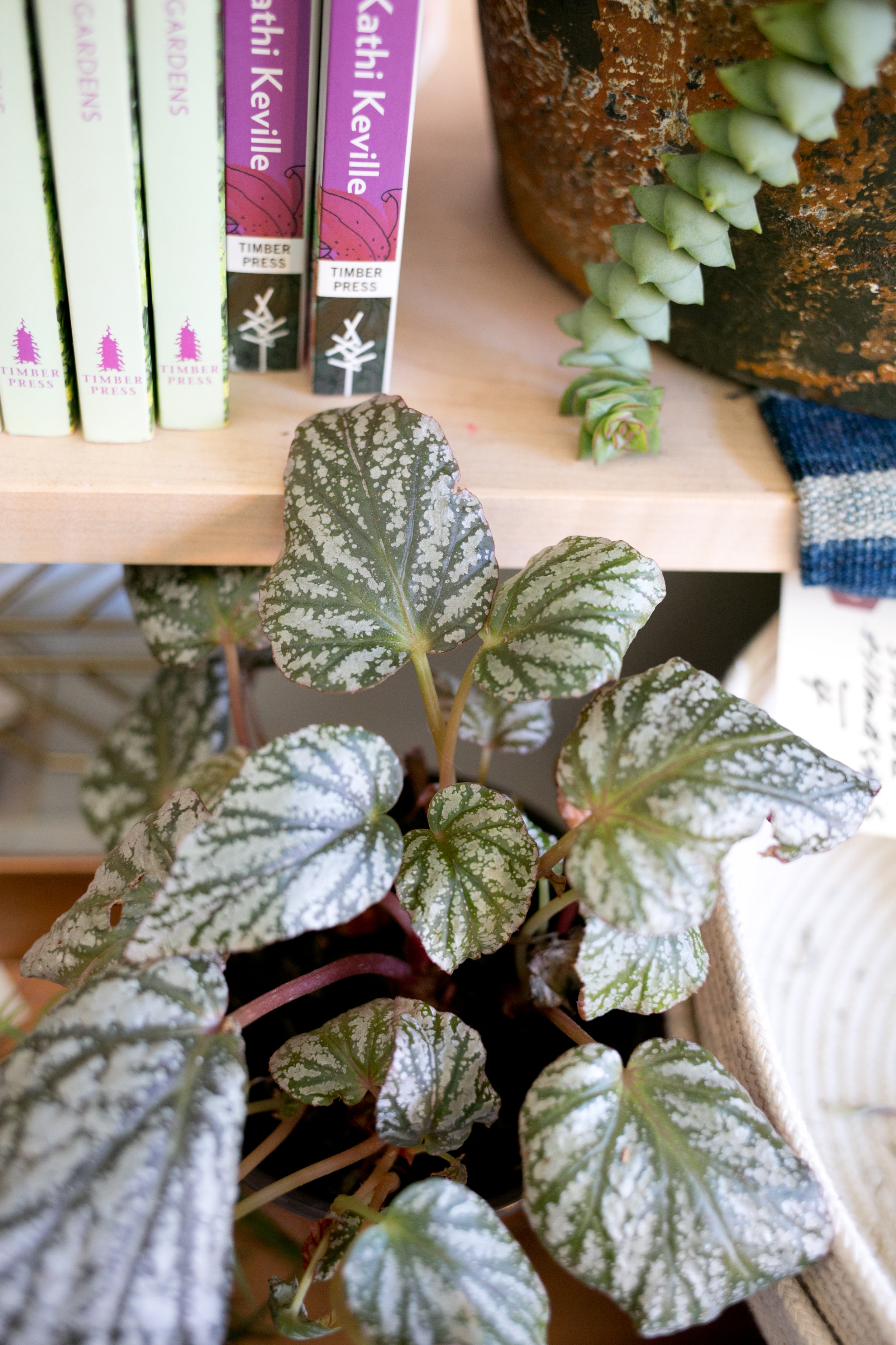 This plant is a hybrid of the Angel Wing Begonia.