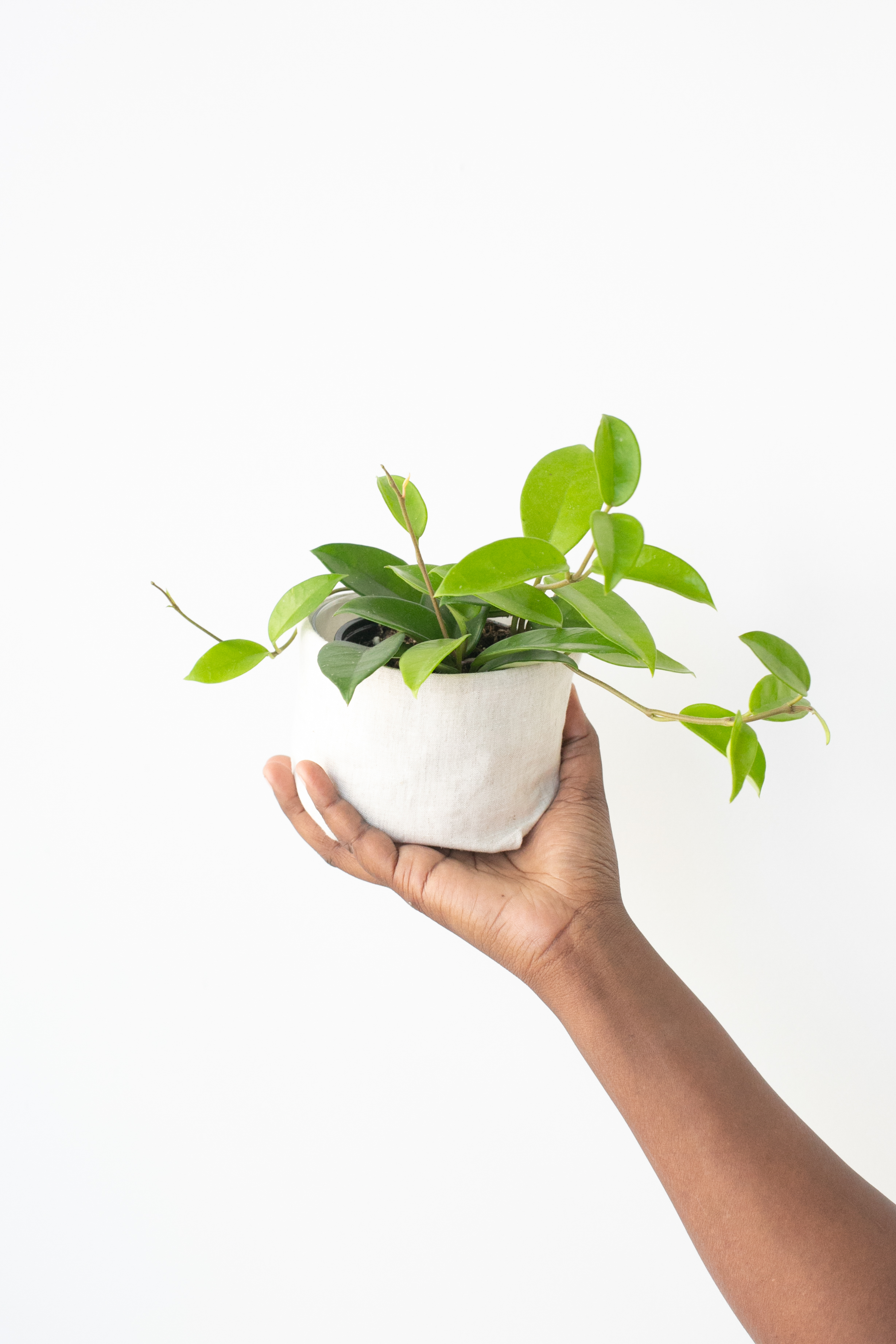 Hoyas make great plants to give as gifts because they are budget-friendly and easy to care for.