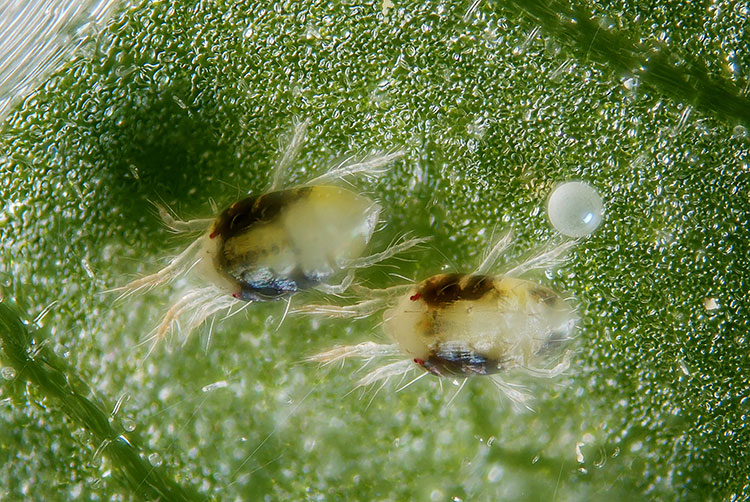 Spider mites are not an insect, as is commonly believed. Instead, they are a type of arachnid that's closely related to spiders and ticks. Image courtesy of  Epic Gardening.