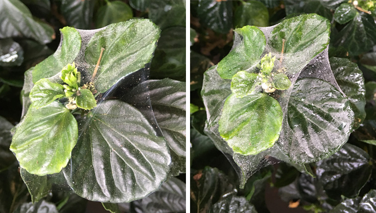 As soon as you suspect a spider mite infestation, begin eradication immediately. Image courtesy of  Gardener's Supply Company .