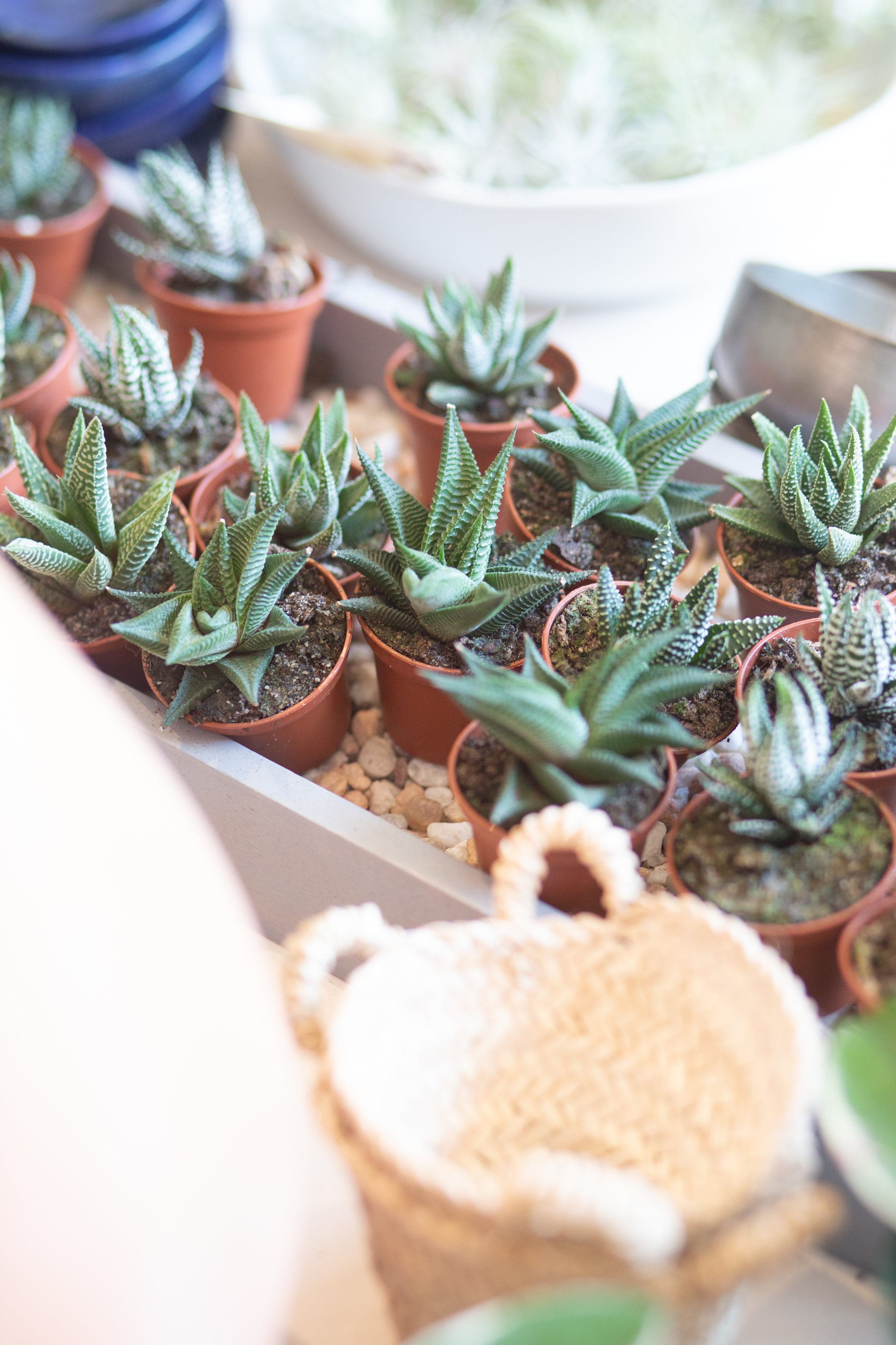 Most cacti and succulents, such as these harworthia, do not need high humidity. That means you do not need to ever mist them, as this can cause too much humidity, resulting in patches of rot on leaves or stems .