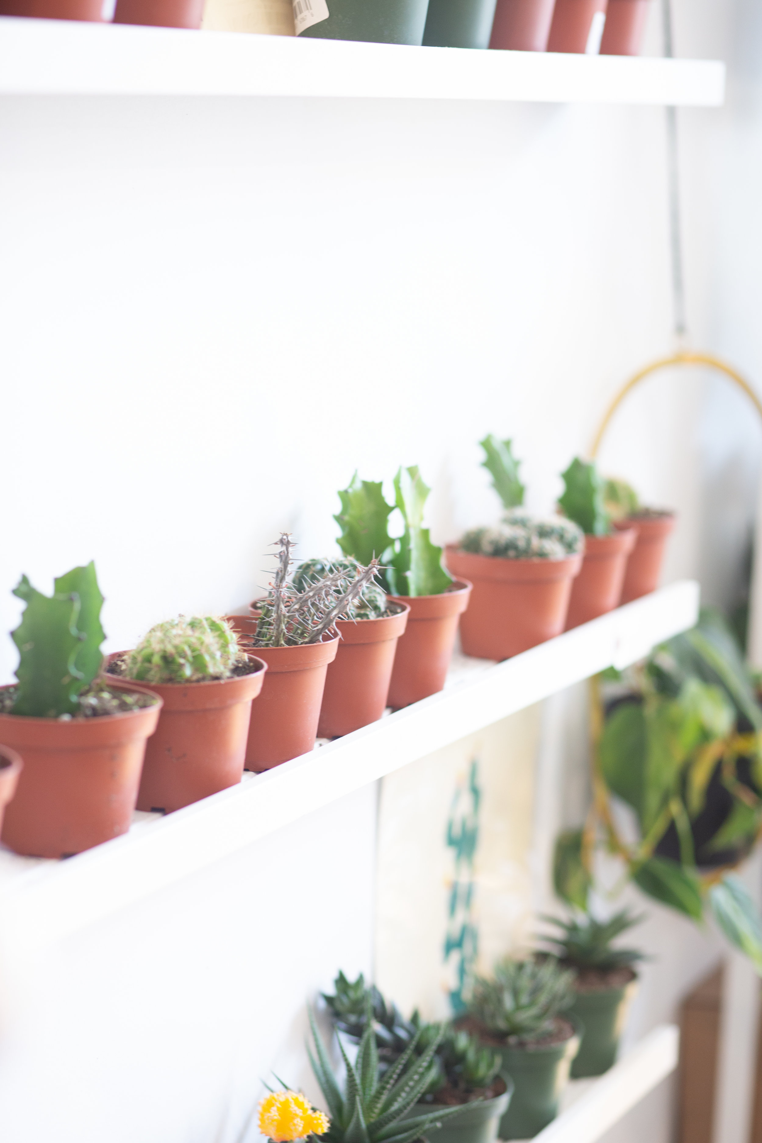 Cacti are adapted to hot days and cold nights, so they don't mind the temperature fluctuations in a centrally-heated home.