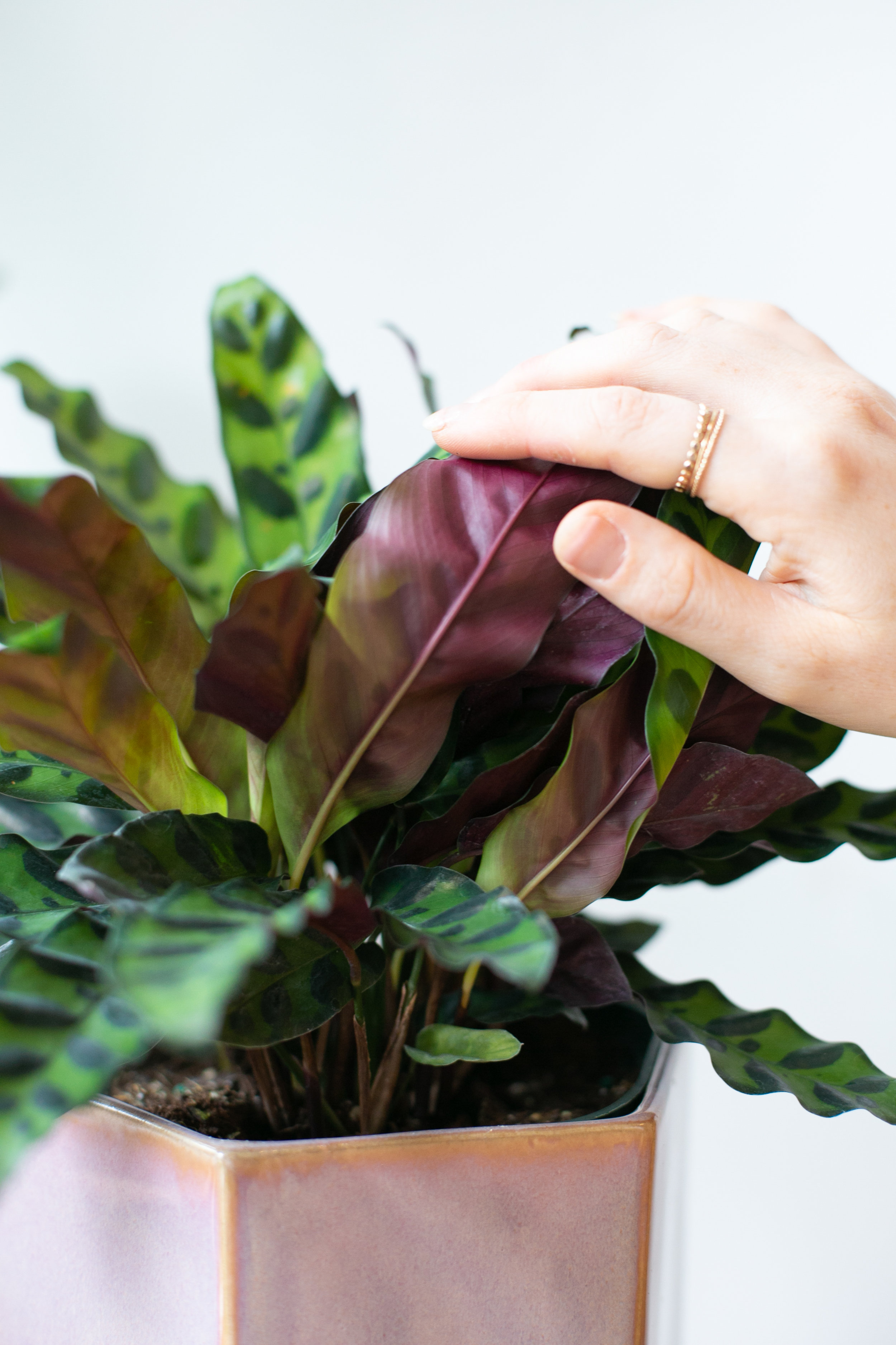 If you still notice signs of under or overwatering on your tropical species, such as this rattlesnake calathea, after you've given your plant a good drink of H2O, try increasing the humidity before watering again. This tip does not apply to cacti and succulents.