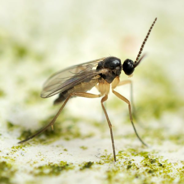 An adult fungus gnat. Image courtesy of  Planet Natural Research Center .