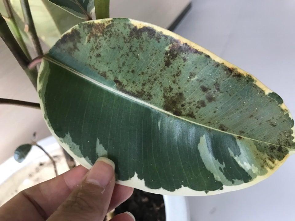 Sooty mold on a Ficus elastica leaf. Image courtesy of  Reddit .