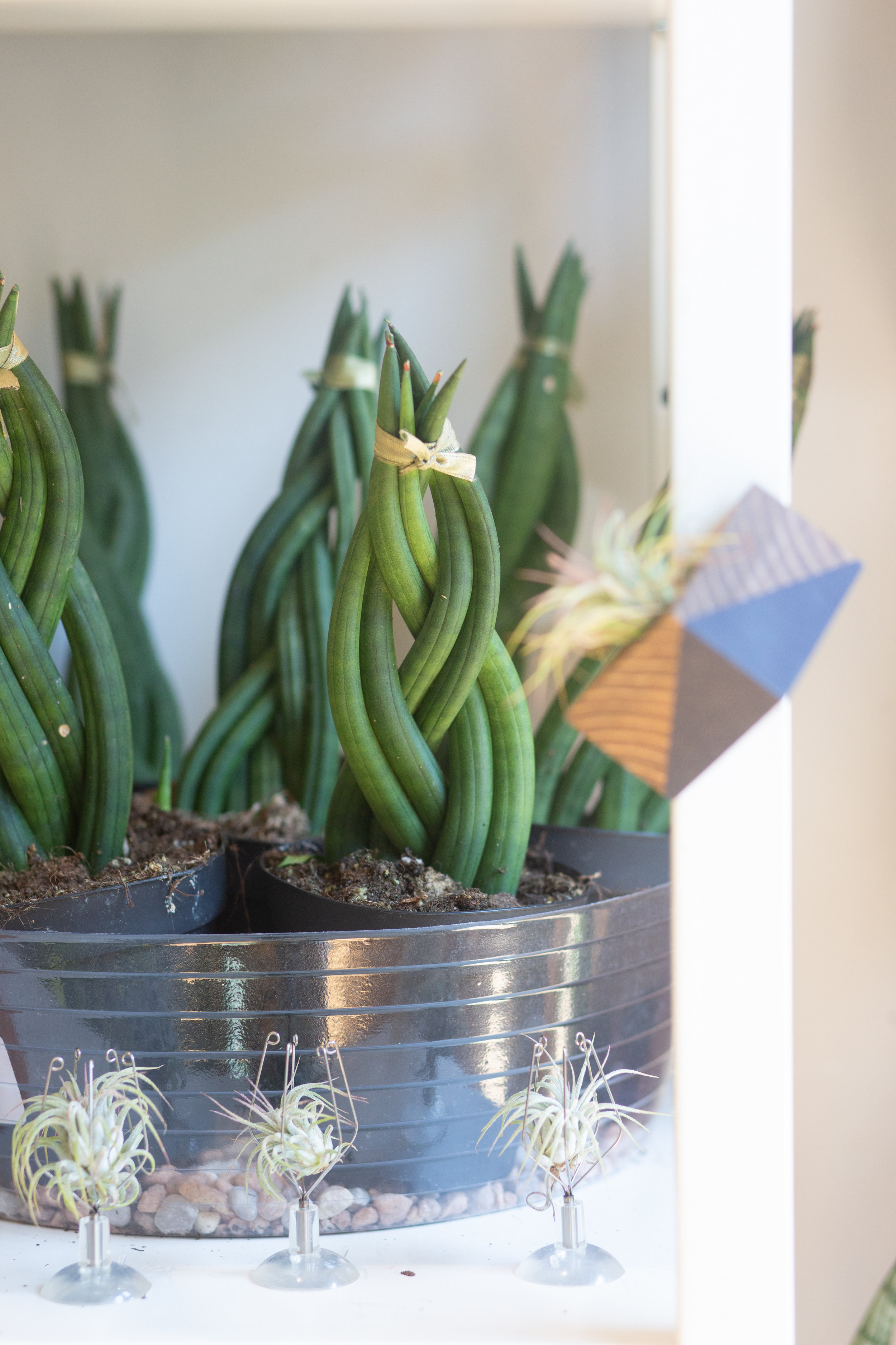 This sansevieria plant has been trained to grow in a braid pattern.