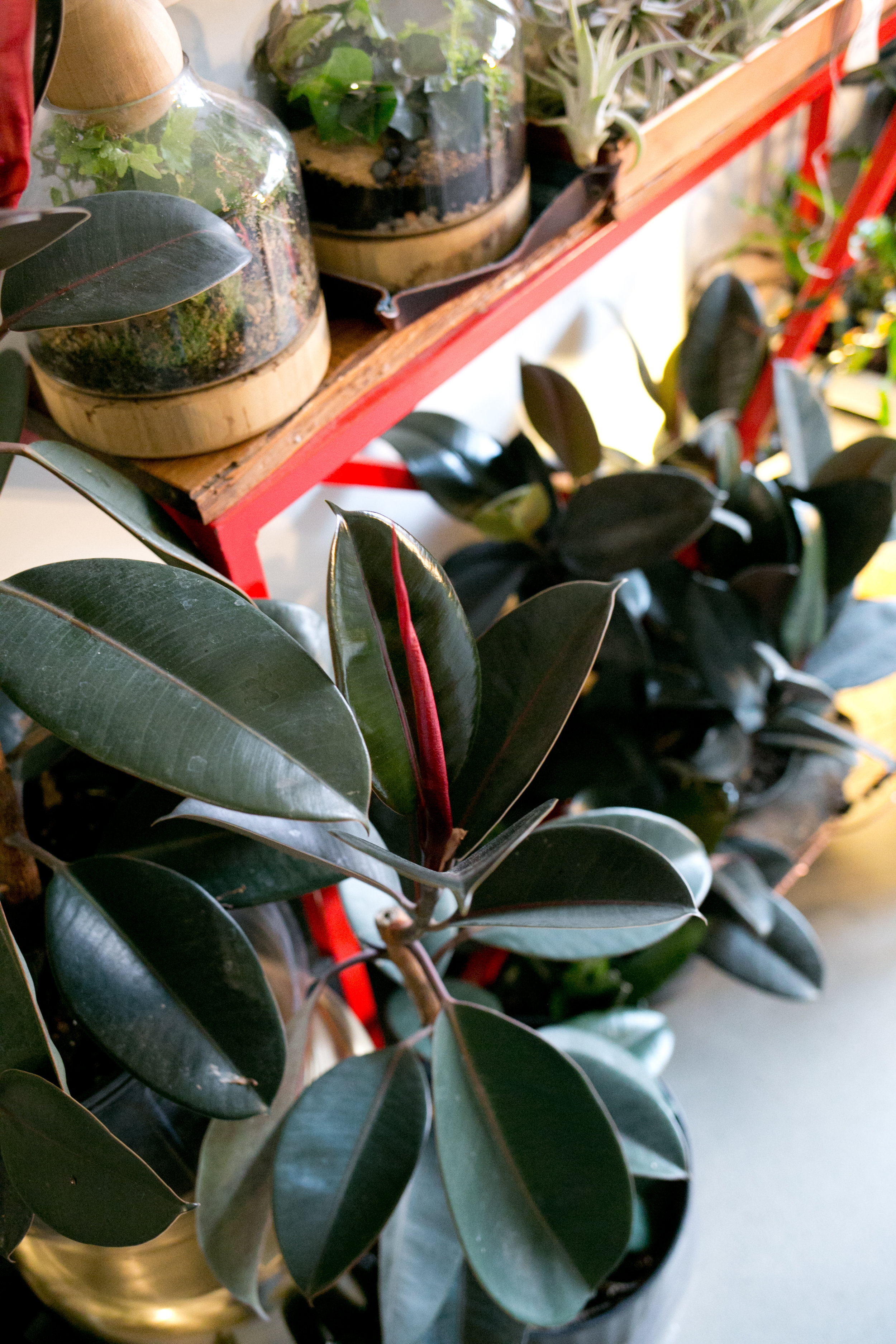 Rubber tree plants  (Ficus elastica)  often need dusting and benefit from frequent polishing.