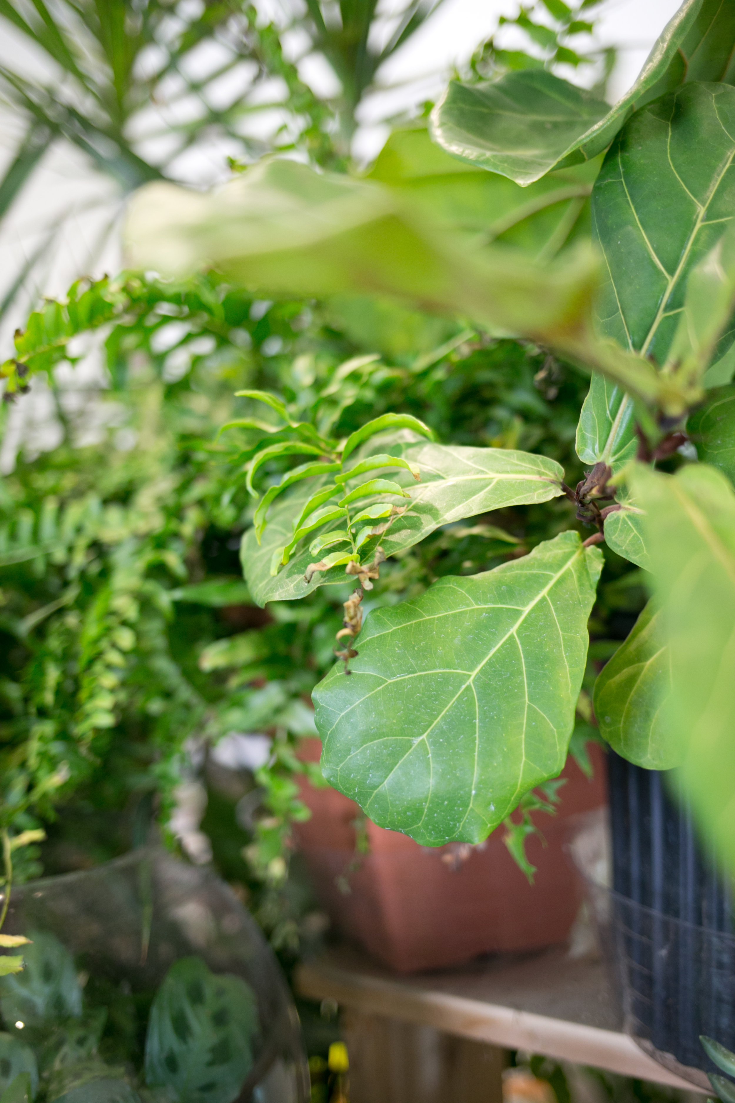 Dusting leaves often helps plants breathe and carry out photosynthesis.