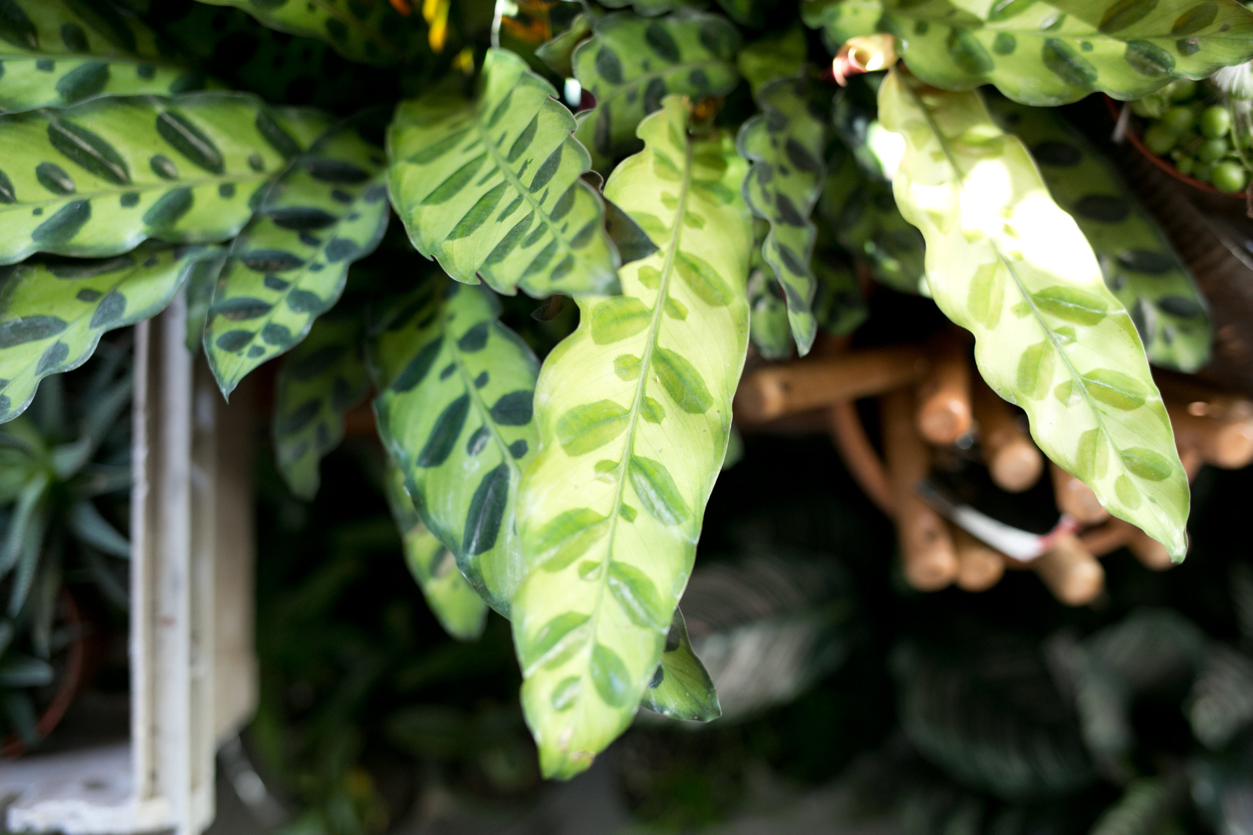 A general rule we follow is where there are humidity trays, let there be ventilation. Tropical foliage plants that need humidity trays, like this Calathea species, need ventilation too, especially in winter.