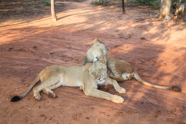 Big 5 - Lion.jpg