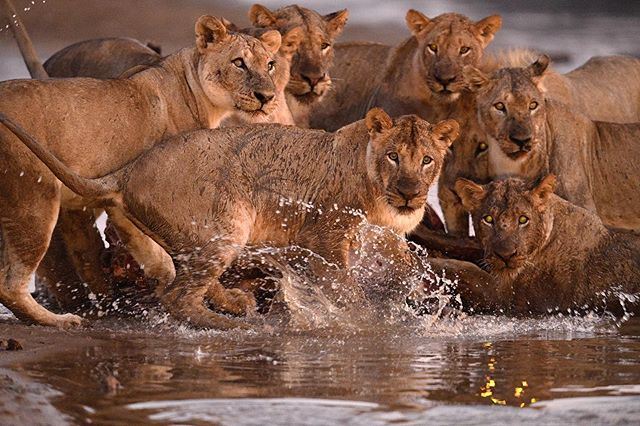 You don't want to mess with these. This pride of lions was feeding on a buffalo kill within the water. They were very attentive due to the crocodiles around. Suddenly there was a splash, my assumption: a catfish feeding on some of the buffalo remains. Everyone was shocked. Love the mix of anxiousness and curiosity written in their faces. Captured in South Luangwa NP, in Zambia.
