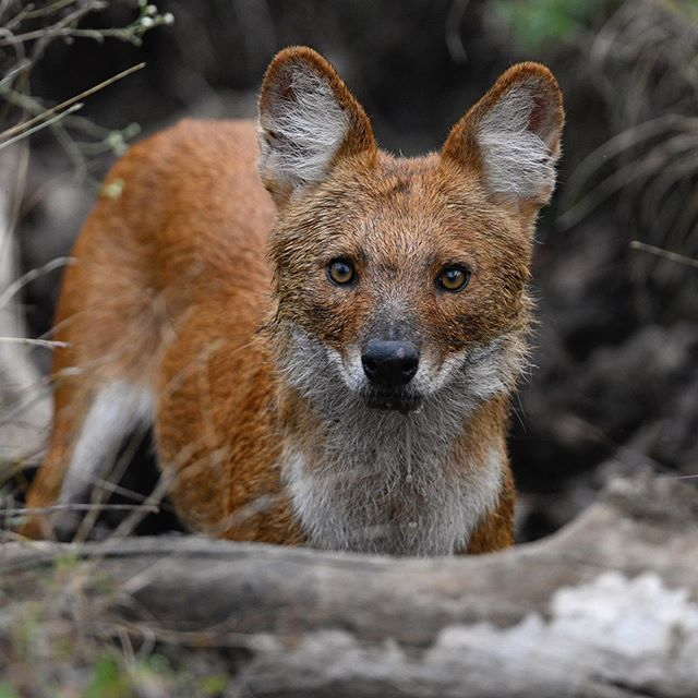 Definitely my favorite dhole shot from our recent India trip. The pack of 3 was busy playing. In between jumping into this little hole, which had some water. The alpha female had a quick drink and looked right into my lens for a millisecond only - lucky enough I was able to get it. We photographed these beauties at Nagarahole National Park under the guidance of @mithunhphotography in India.