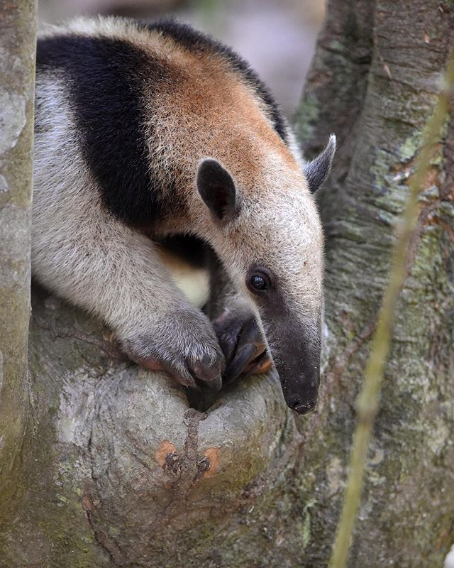 "During a long sweaaaaty hike in the Corcovado National Park in Costa Rica we were able to smell this Northern Tamandua. Yes you heard right ""smell"" - then we spotted it 😅"