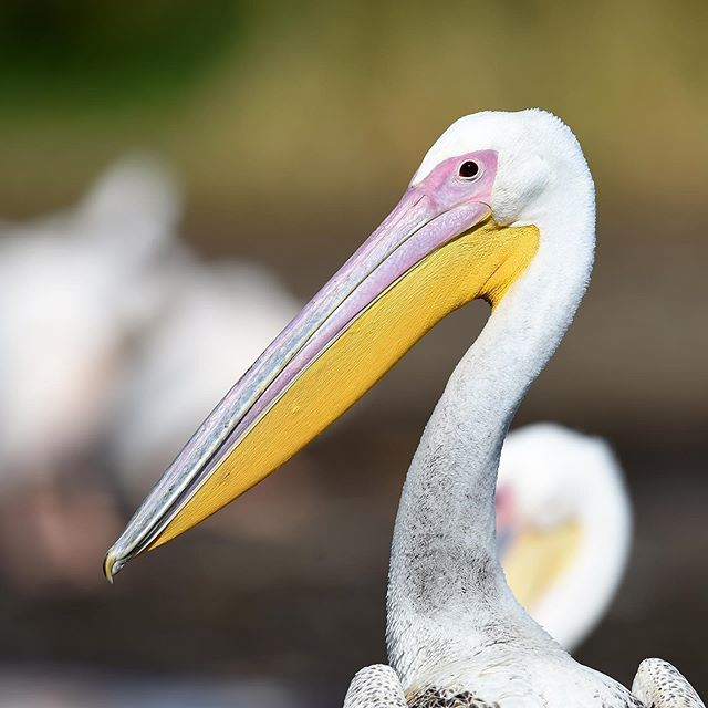 A wonderful white backed pelican photographed during ideal light in Ethiopia. Enjoy your day everyone!!