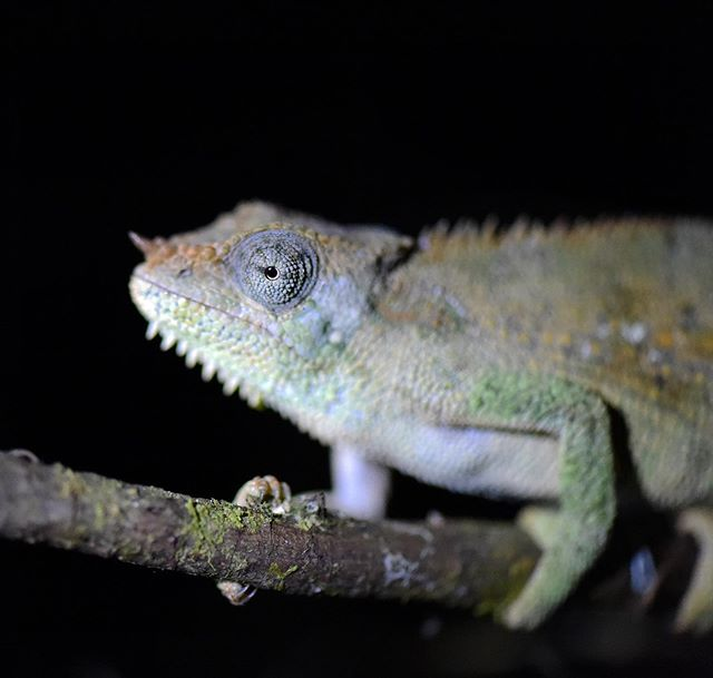 At night macro photography with a chameleon at Bale mountain Lodge in Ethiopia. Check out the 👁