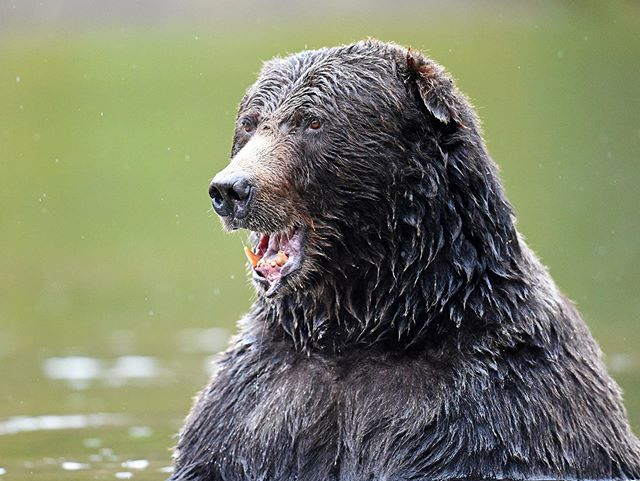 TB to this impressive male grizzly we were able to witness on a kayak in Bella Coola at Tweedsmuir Park Lodge, Canada. He was feeding on the large salmon during spawning season.