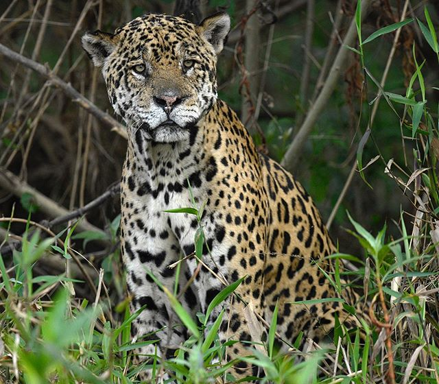 Cannot wait for the next Brazil trip to see these powerful cats! This jaguar was named Scarface, one of the dominant males in the area. We were lucky enough to spend quite some time with him!
