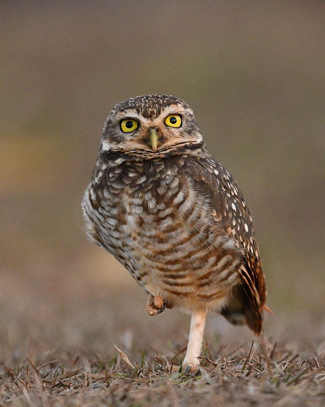 One can never get enough of owls, at least I can't! We photographed this burrowing owl in the Pantanal in Brazil. I was amazed how close I could sneak up on it. Lying flat on the ground to get this eye level perspective.