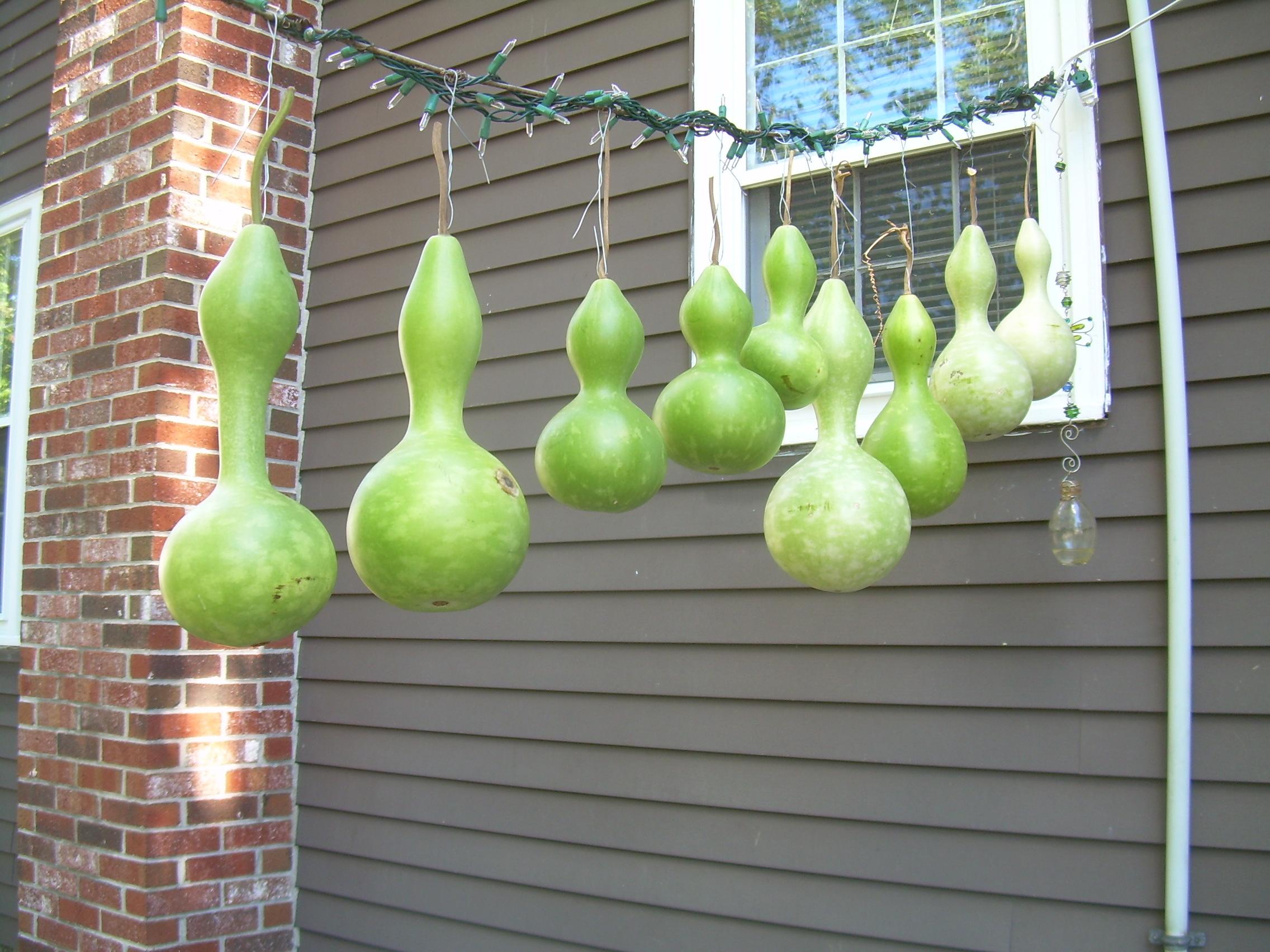 gourd harvest 2013