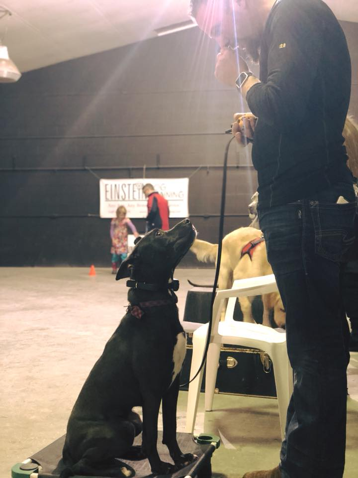pitbull board and train