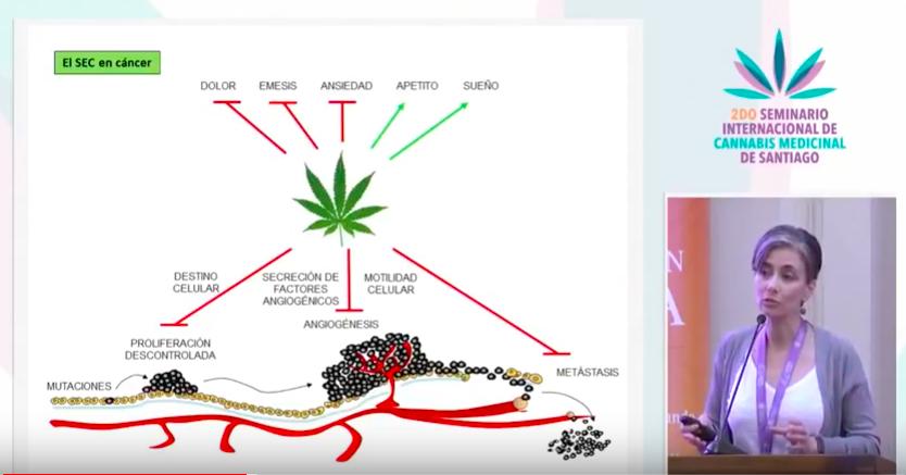 """- La doctora Sánchez trabaja junto a un equipo de investigación, que asociado a otros grupos científicos enfocados en esta materia, creen tener los datos pre clínicos suficientes que demuestran que los cannabinoides, además de ser utilizados como terapia paliativa en cáncer, podrían ser utilizados como terapia anti tumoral. """"Hemos visto durante todos estos años que los cannabinoides bloquean las tres fases de la progresión tumoral."""